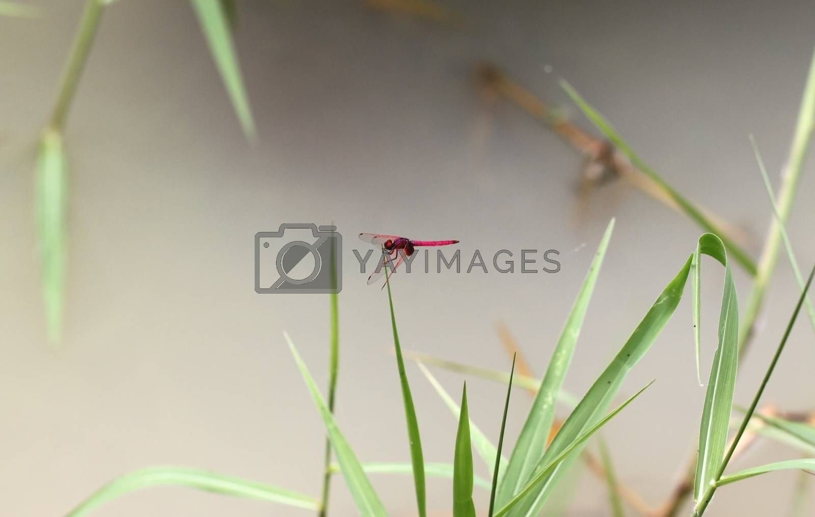 Red dragonfly on green grass. by PiyaPhoto