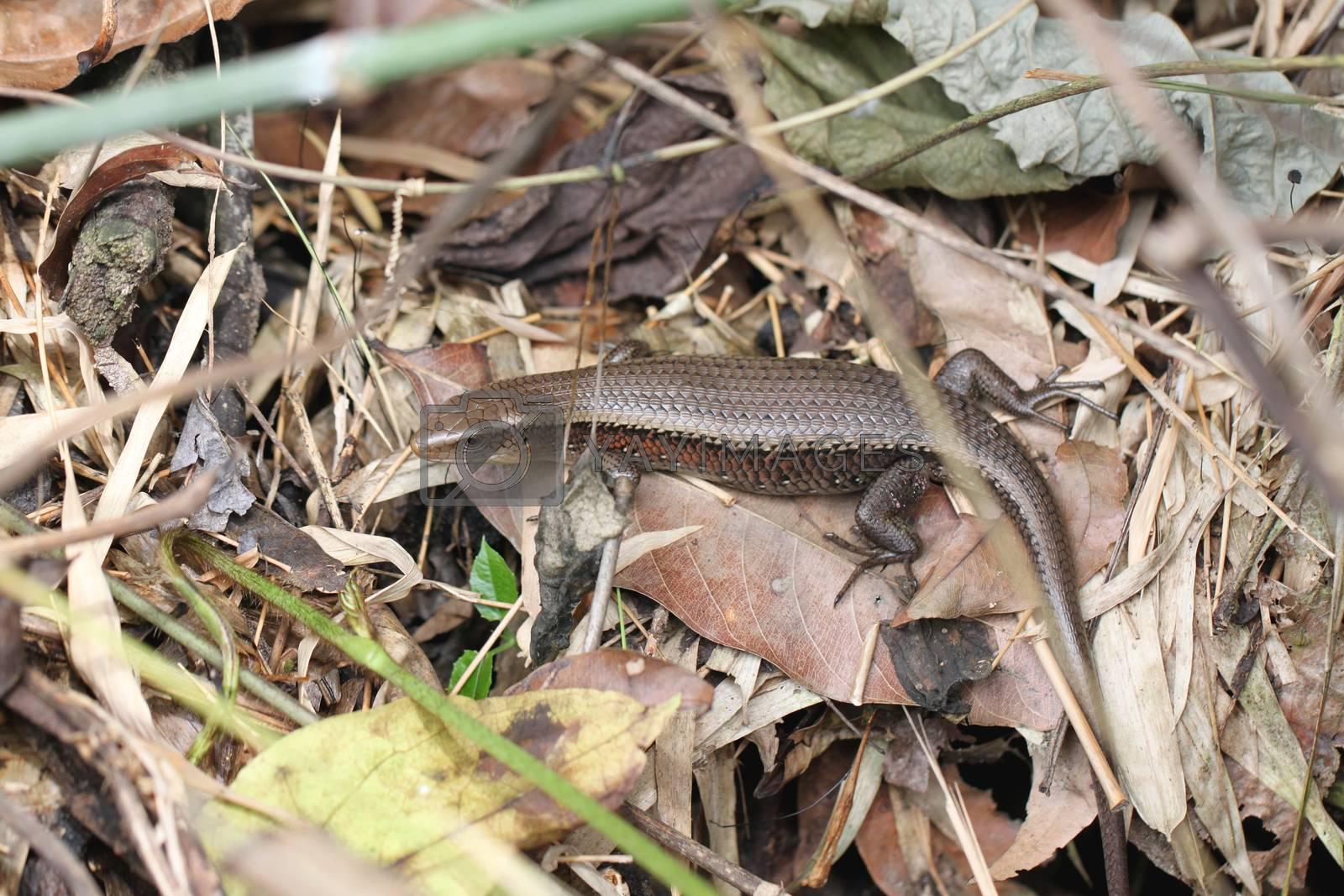 Skink or iguana on ground in the garden.