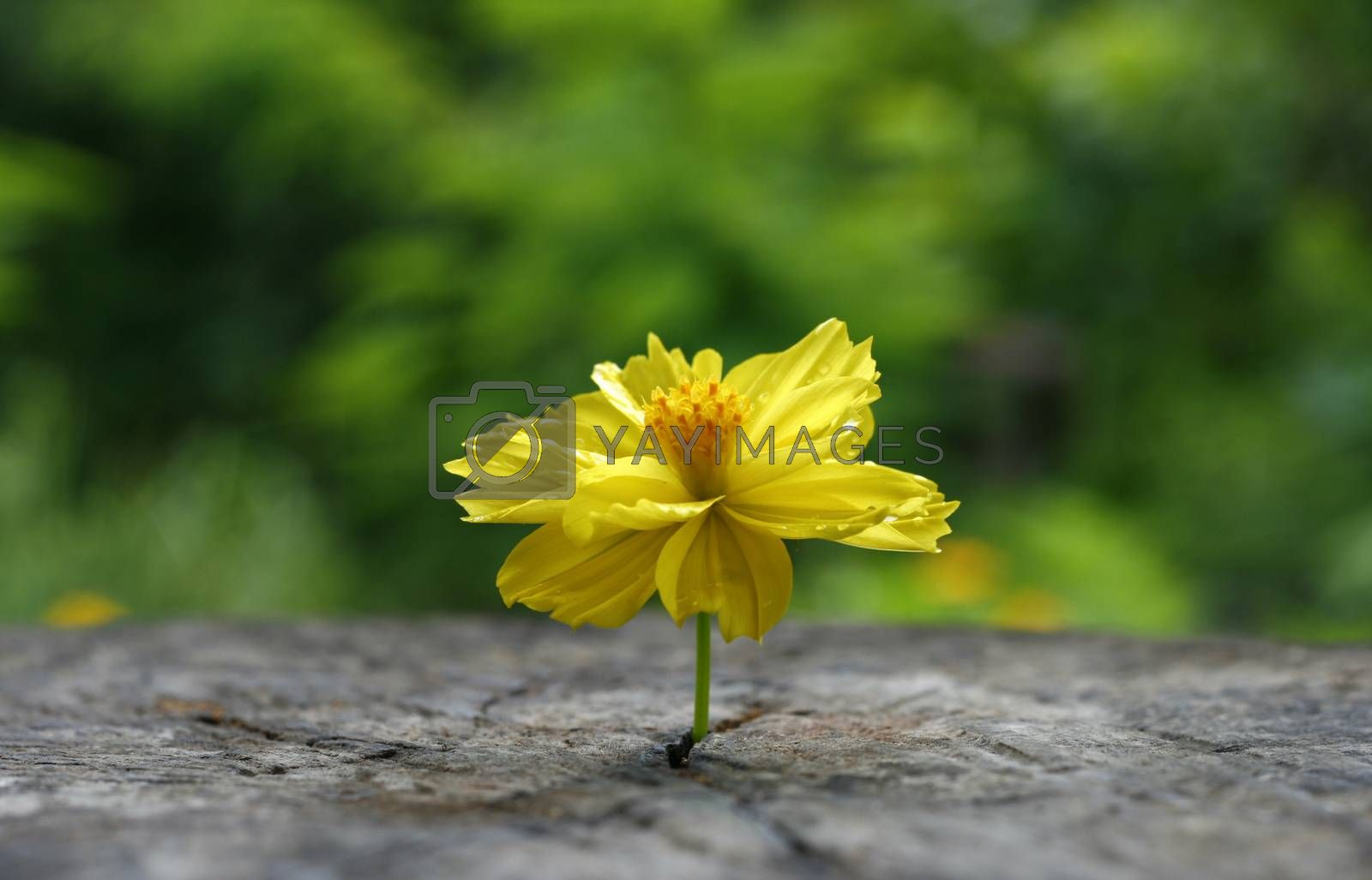 Marigold on grunge wooden table