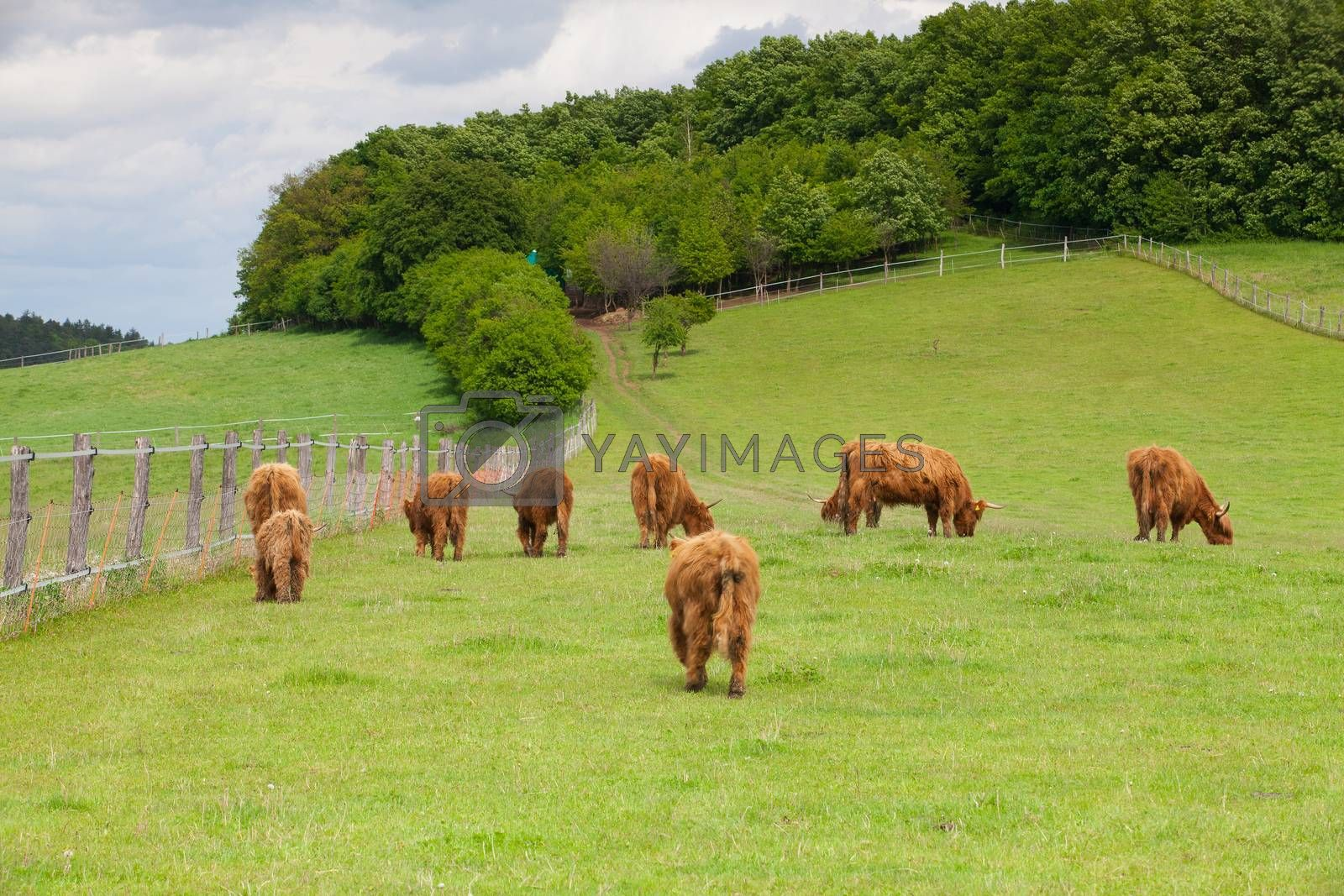 Royalty free image of The herd of aberdeen angus on spring meadow by CaptureLight