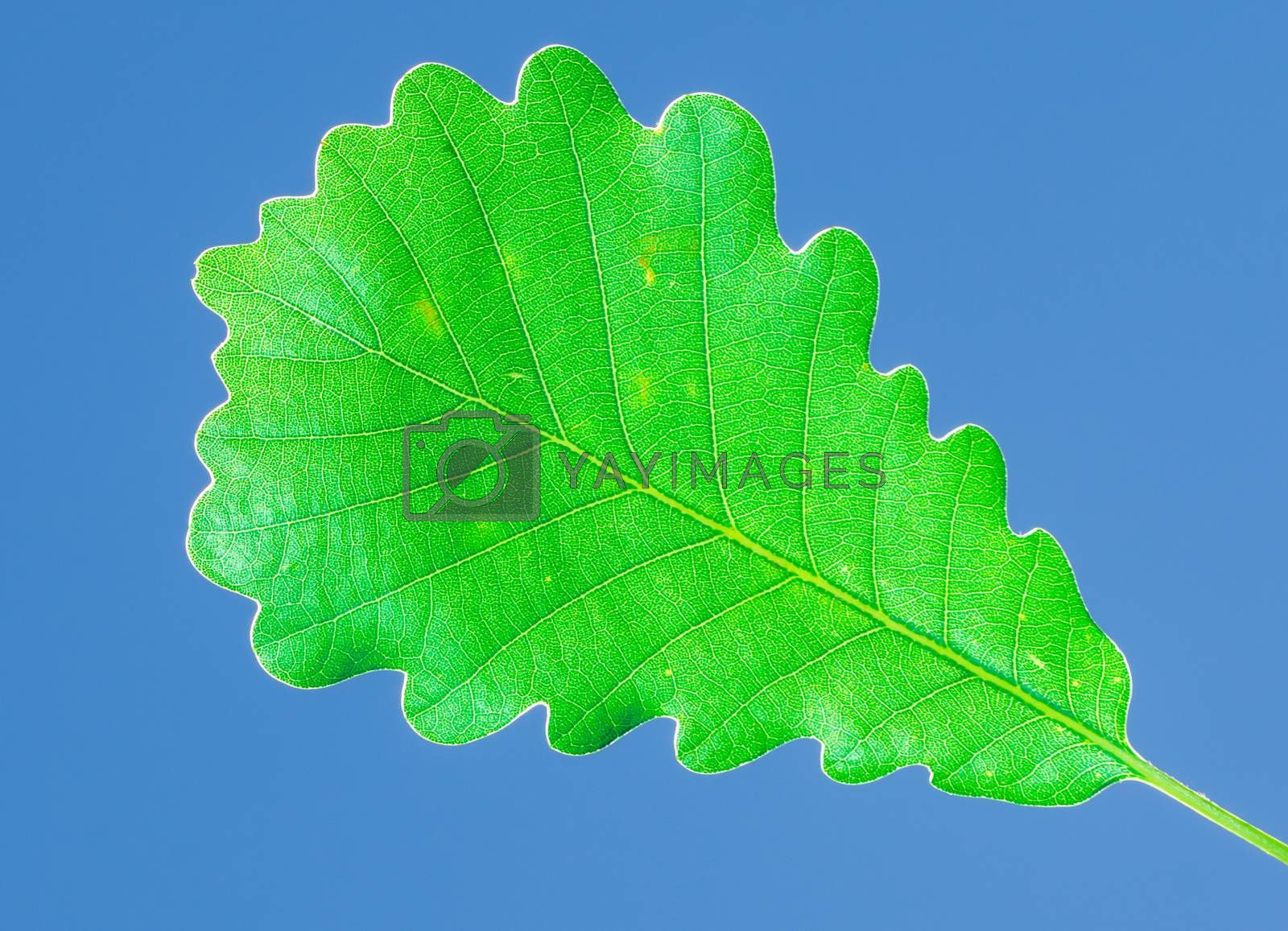 Royalty free image of oak leaf on the blue sky by faa069913827