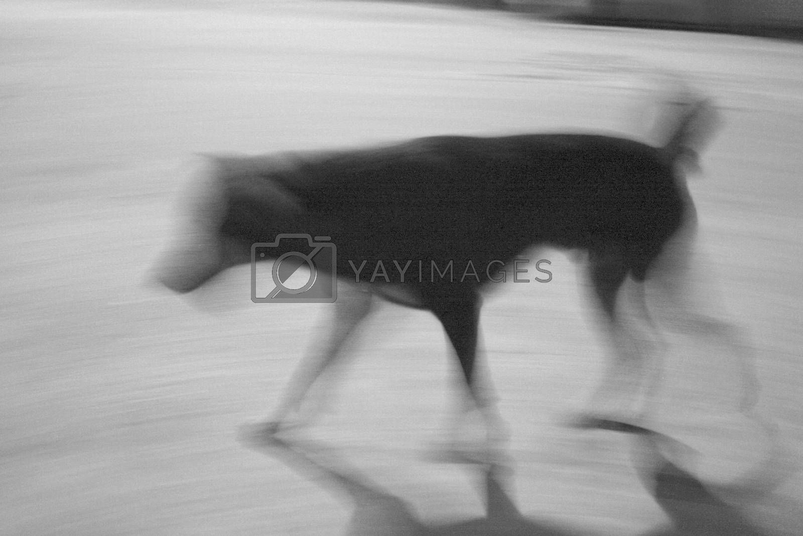 Royalty free image of Blurred walking dog by pixbox77