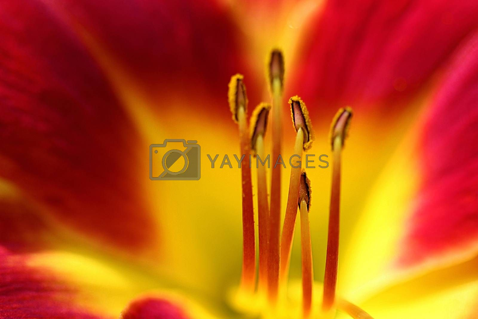 Royalty free image of Red Daylily Stamens by Catmando