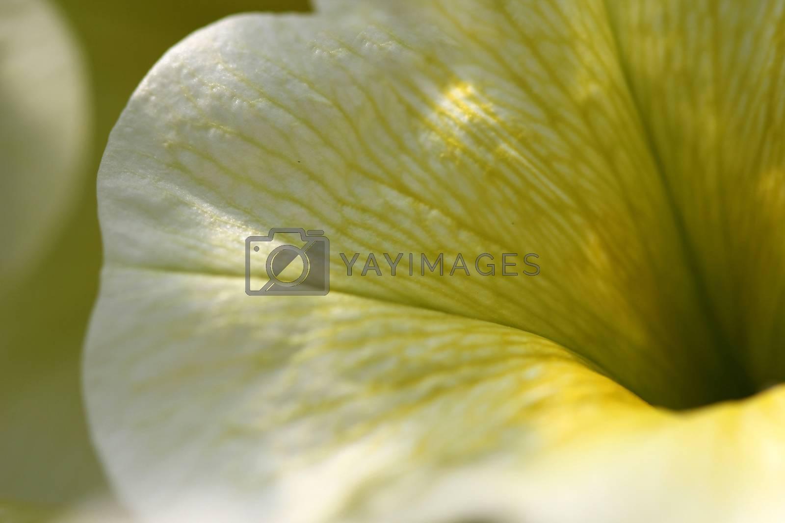 Royalty free image of Yellow Petunia by Catmando