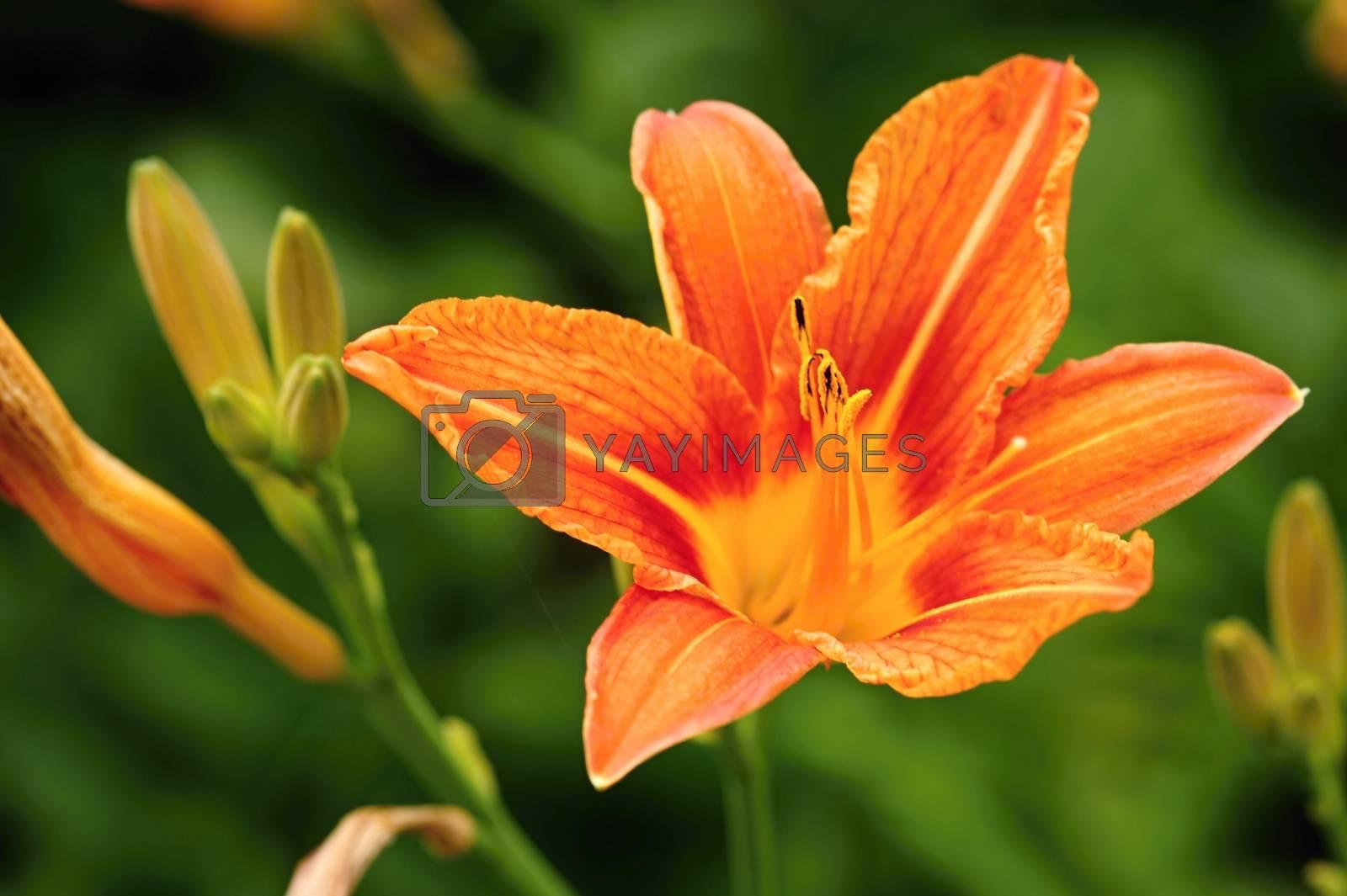 Royalty free image of Orange lily by ondrej83