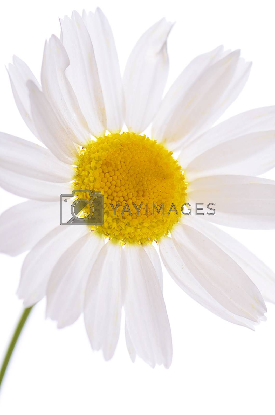 Royalty free image of The beautiful daisy isolated on white by SvetaVo