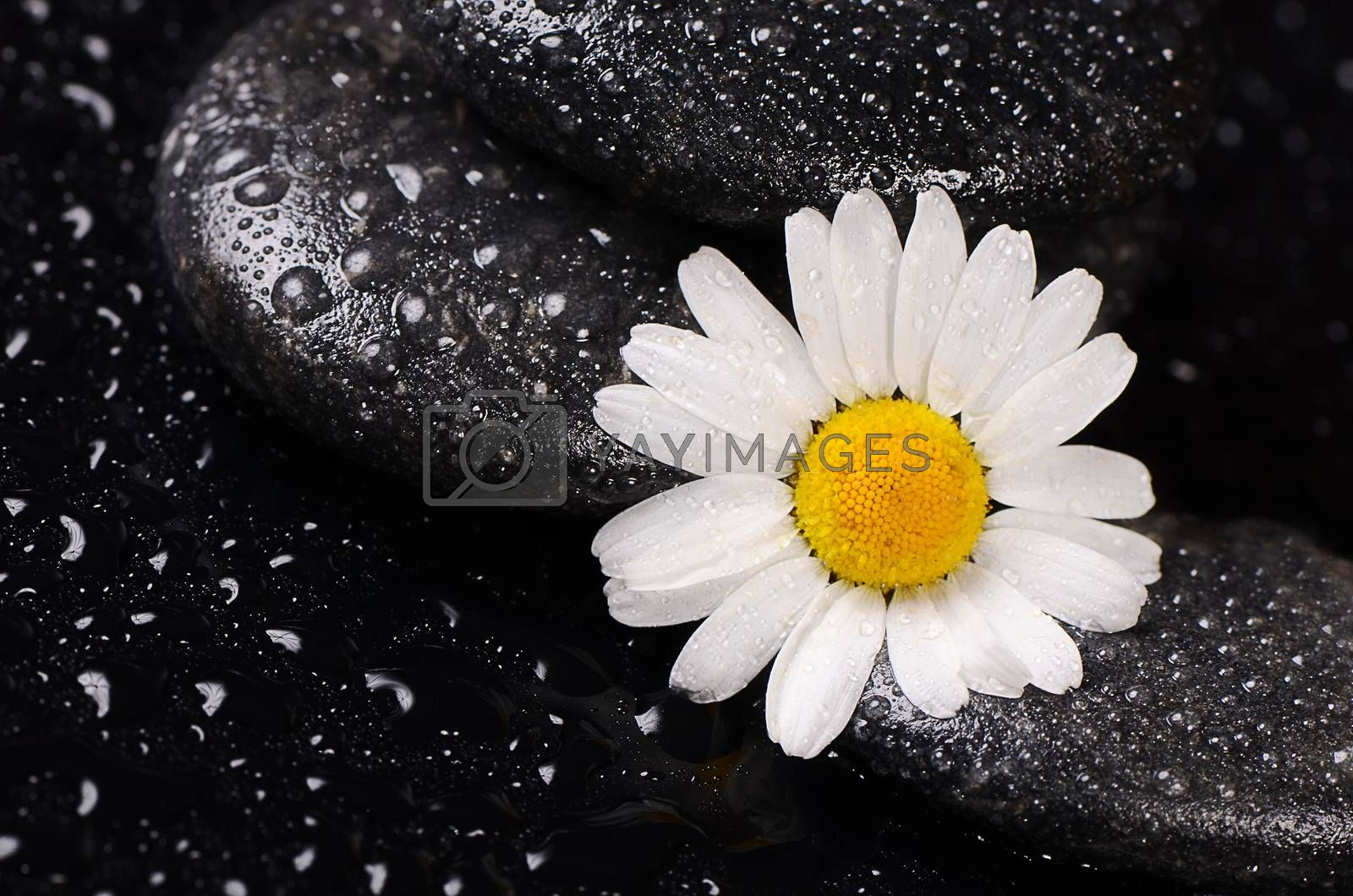 Royalty free image of Stones for spa with water drops and chamomile by SvetaVo