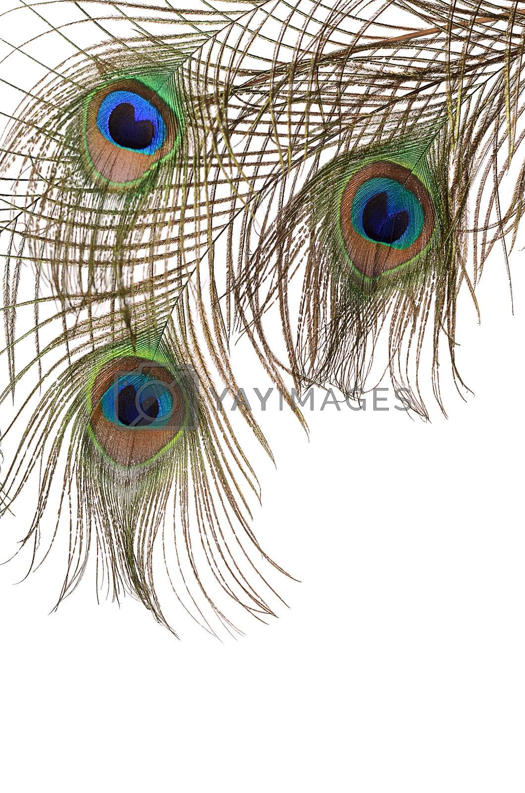 Royalty free image of Feather of peacock isolated on white background by SvetaVo