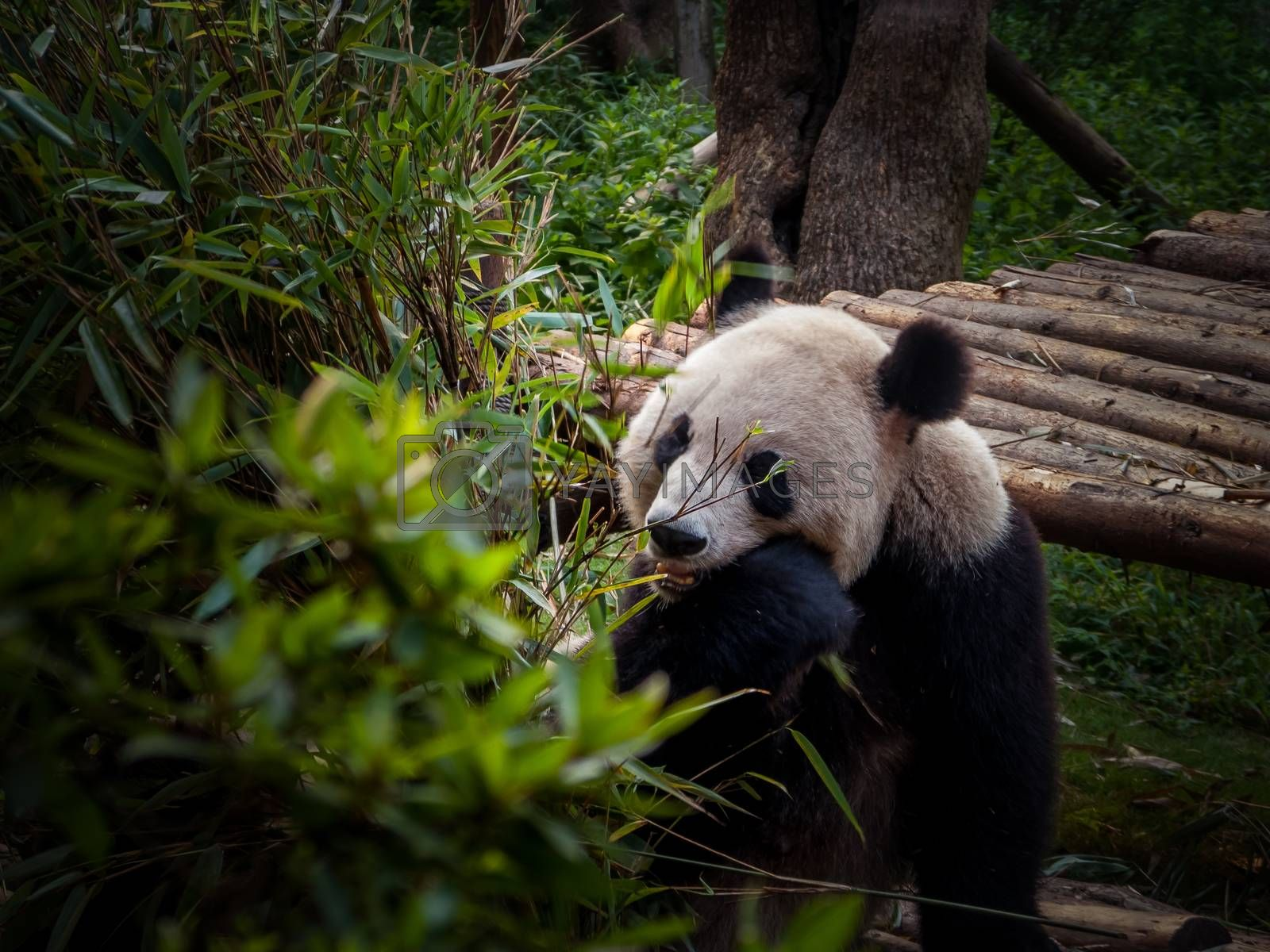 Royalty free image of Panda Chengdu by bamboome