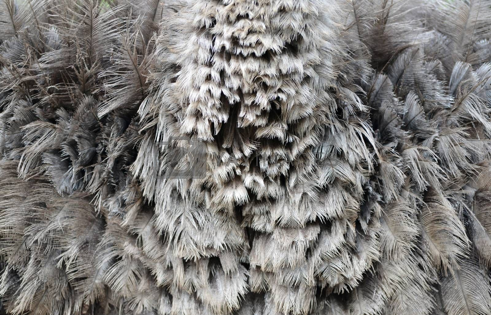 Royalty free image of ostrich feather by anankkml
