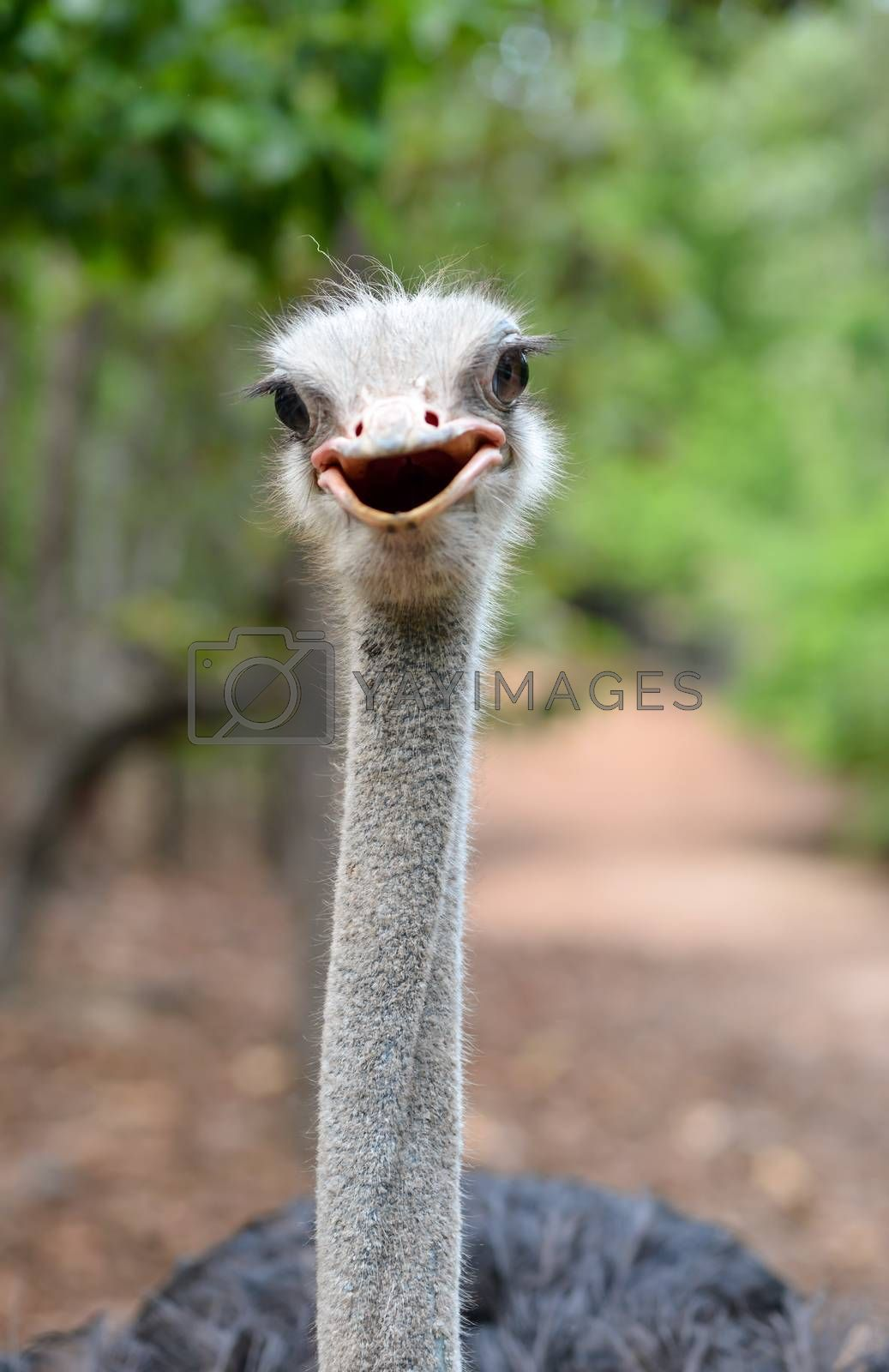 Royalty free image of ostrich head by anankkml