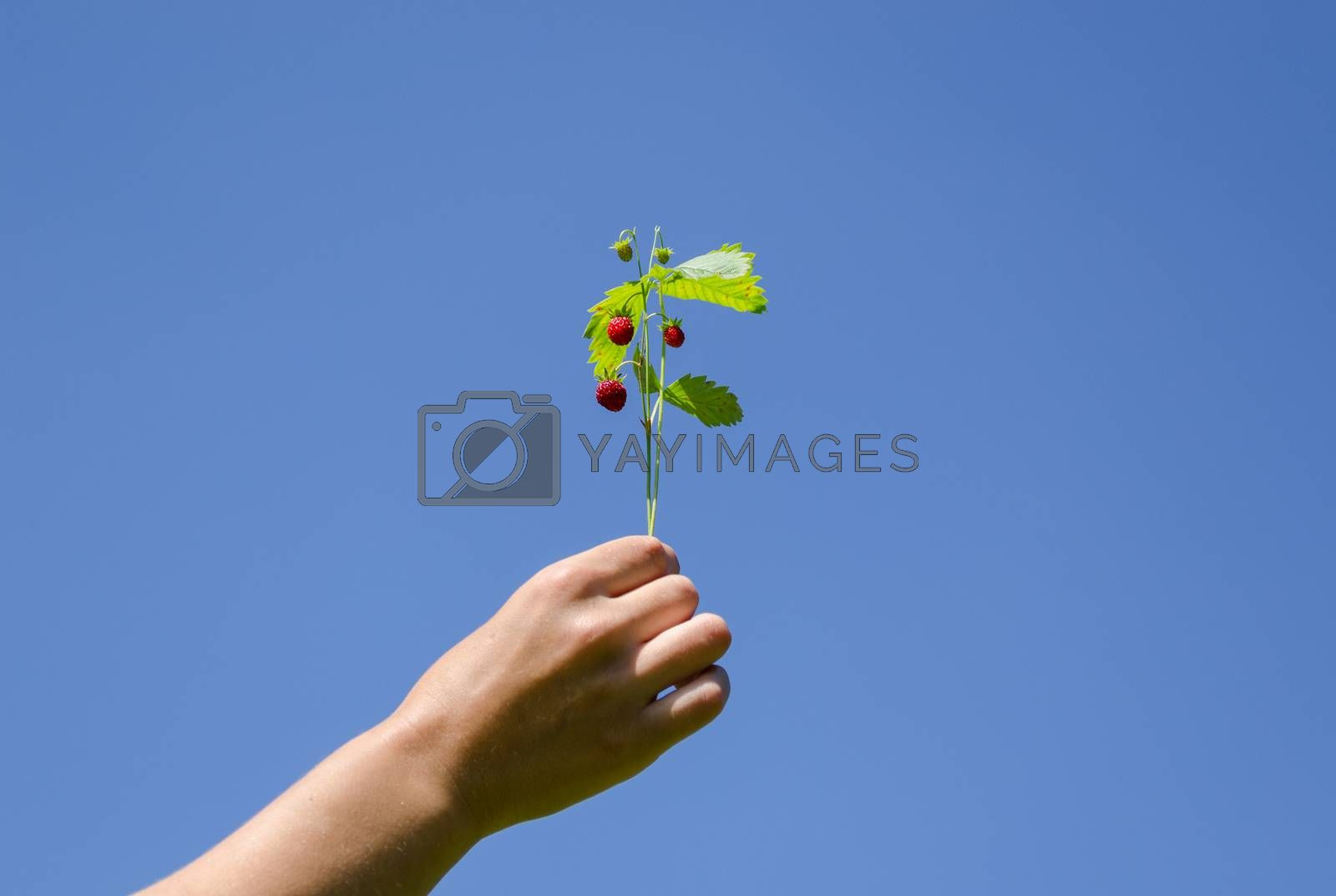 woman hand hold green strawberries spray on blue sky background