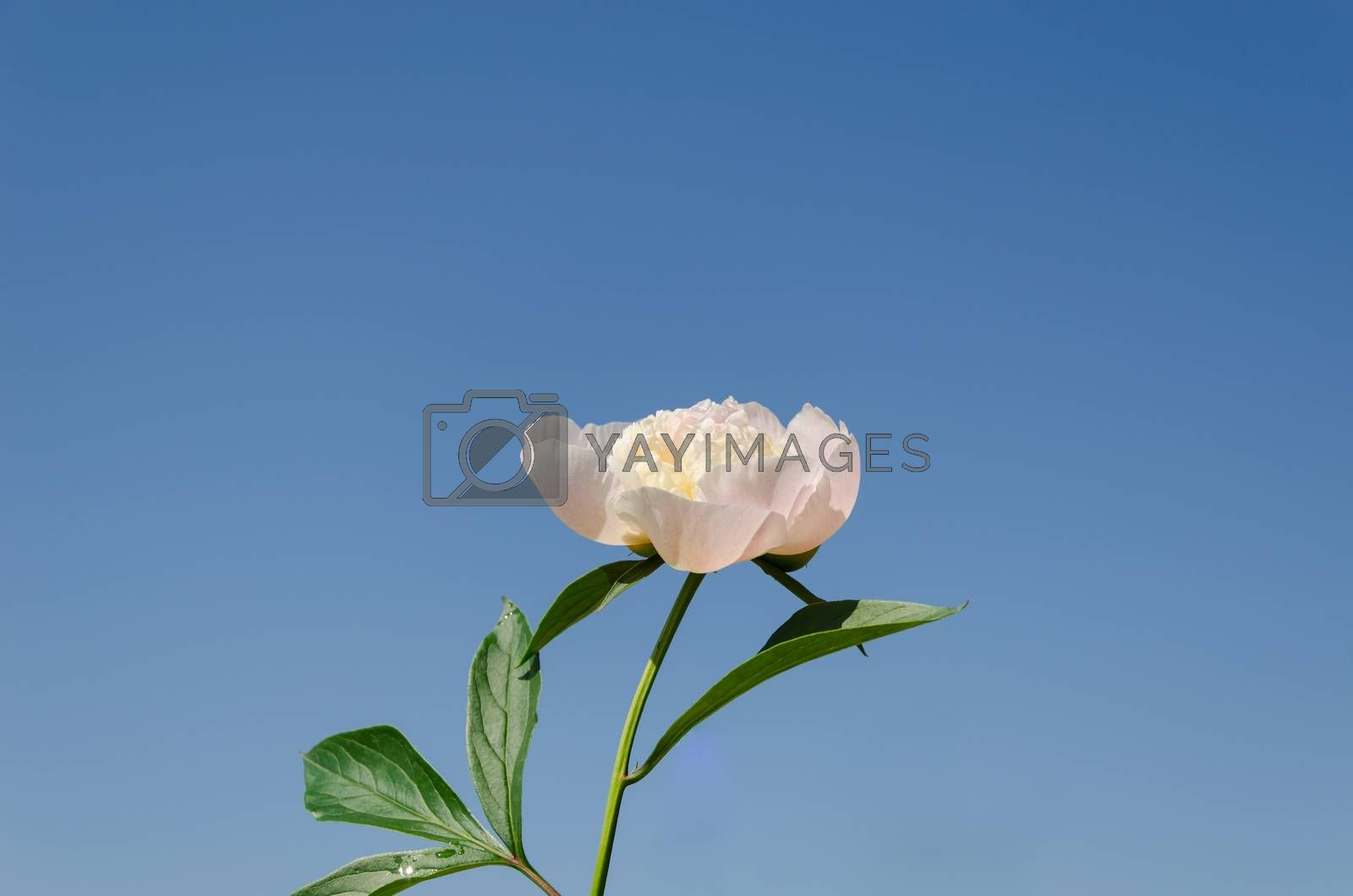 small white peony bud with green leaves on blue sky background
