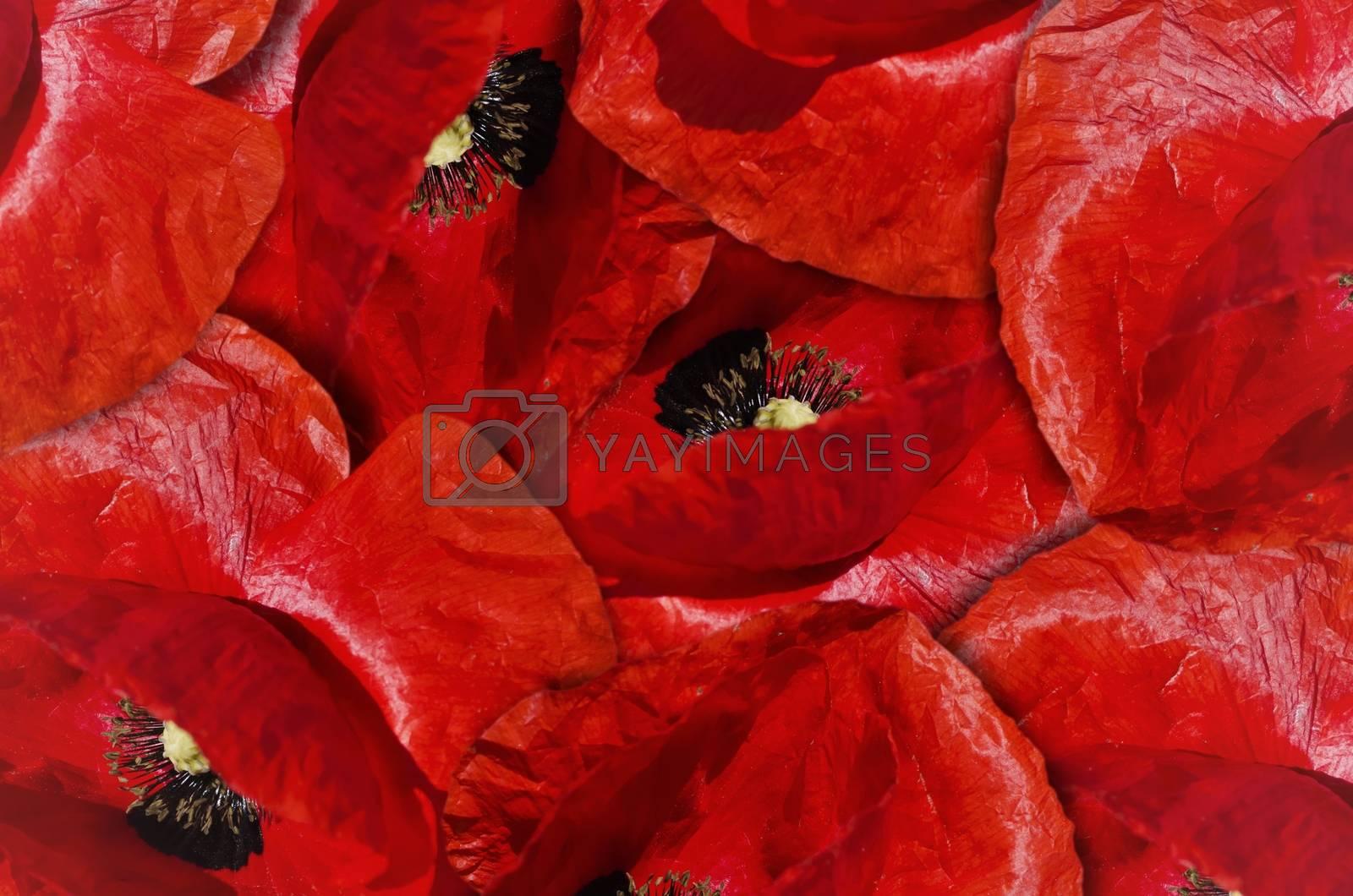 Royalty free image of Red Poppy Flower Background by razvodovska