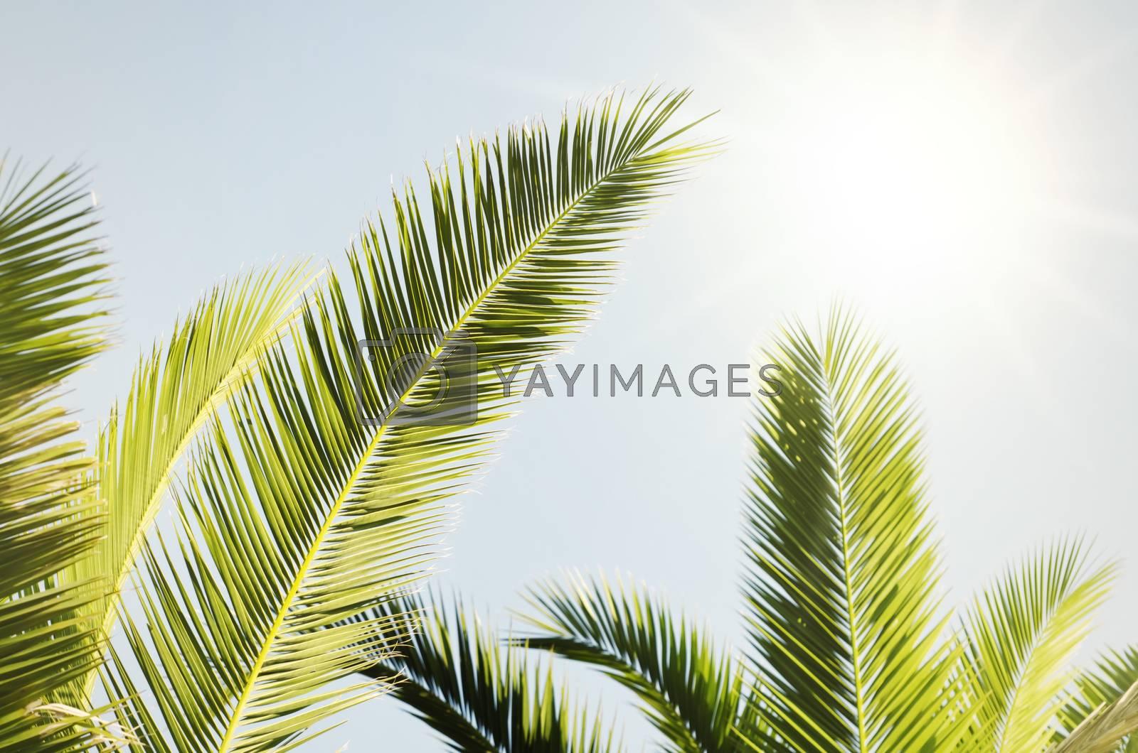 Royalty free image of Summer Palms by razvodovska