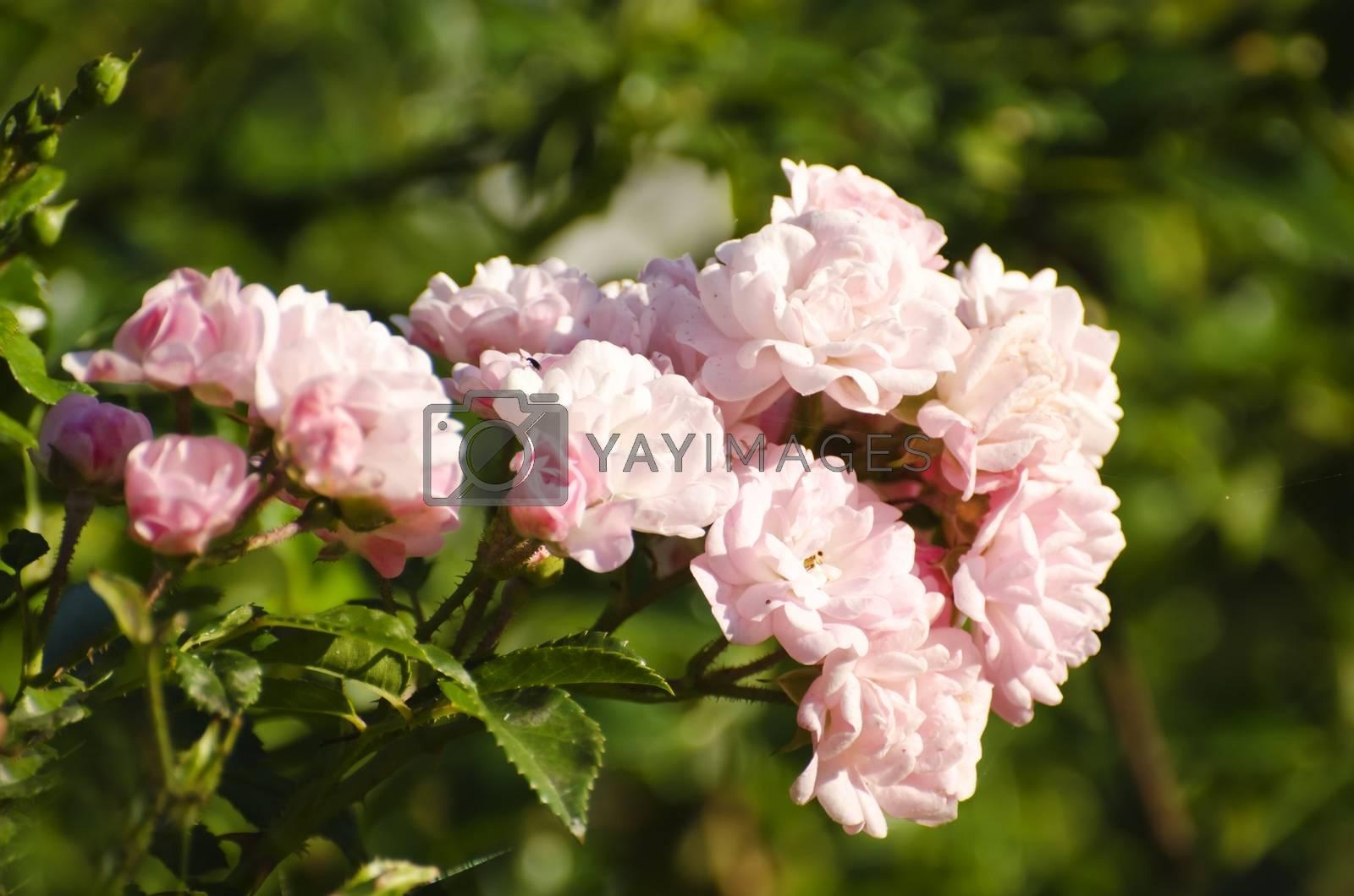 Royalty free image of Rose Flower by razvodovska