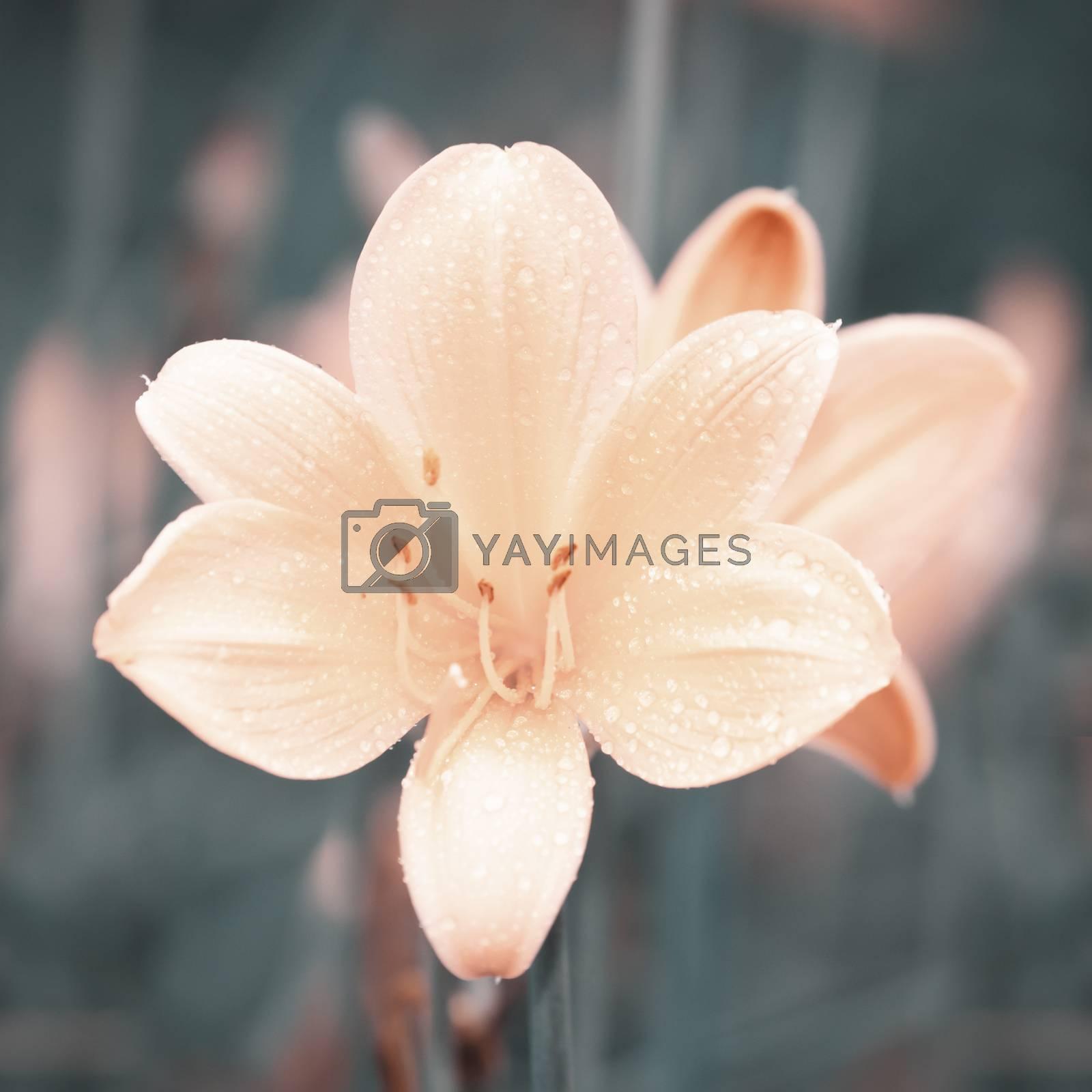 Lily Flower by razvodovska