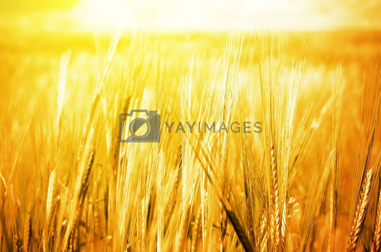 Wheat Background by razvodovska