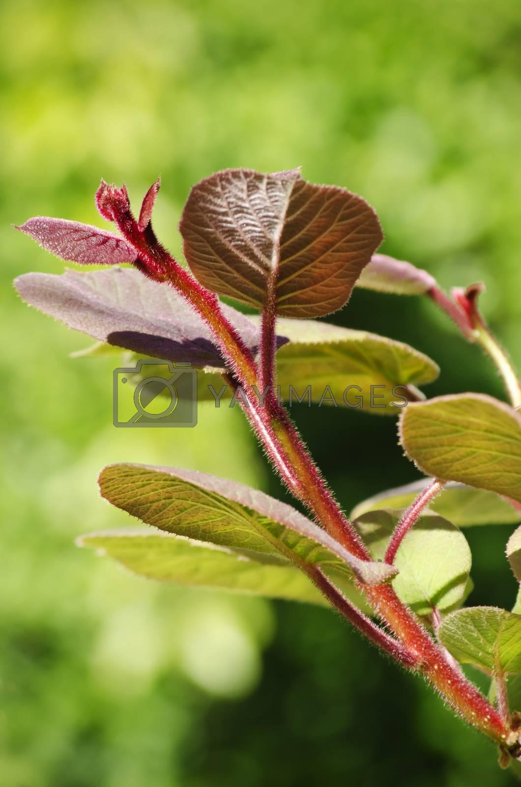 Photo of Spring Kiwi Leaf Over Green