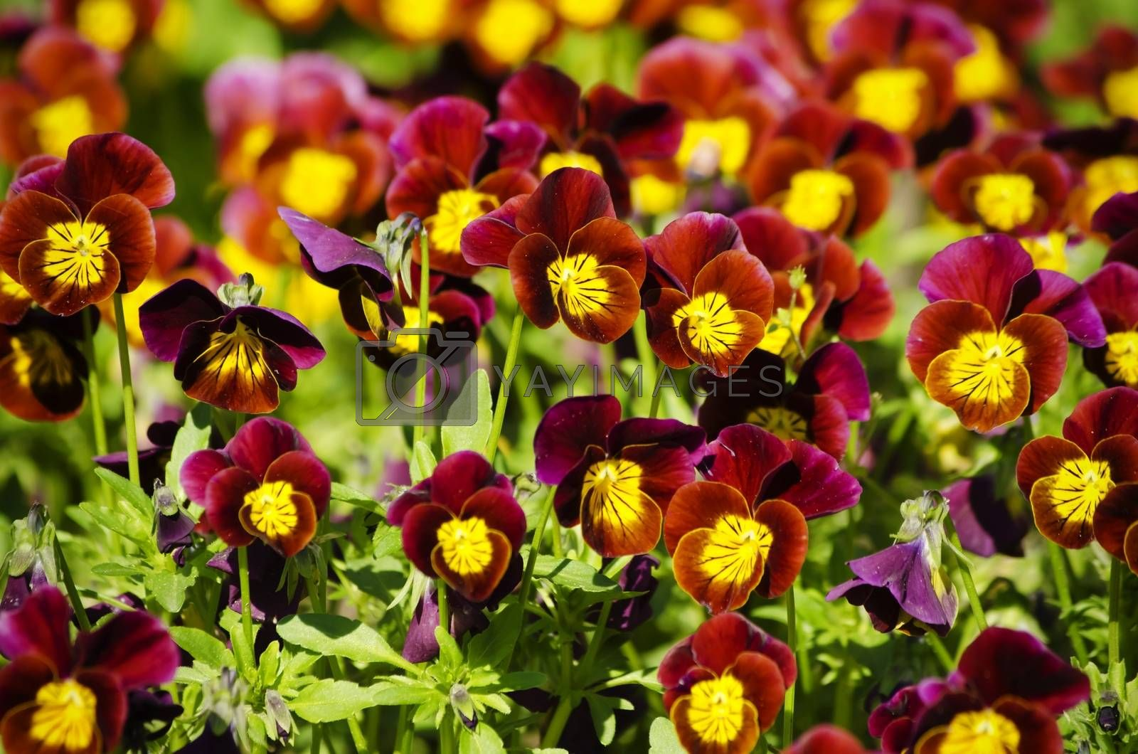 Photo of Bright Pansy Flower Background
