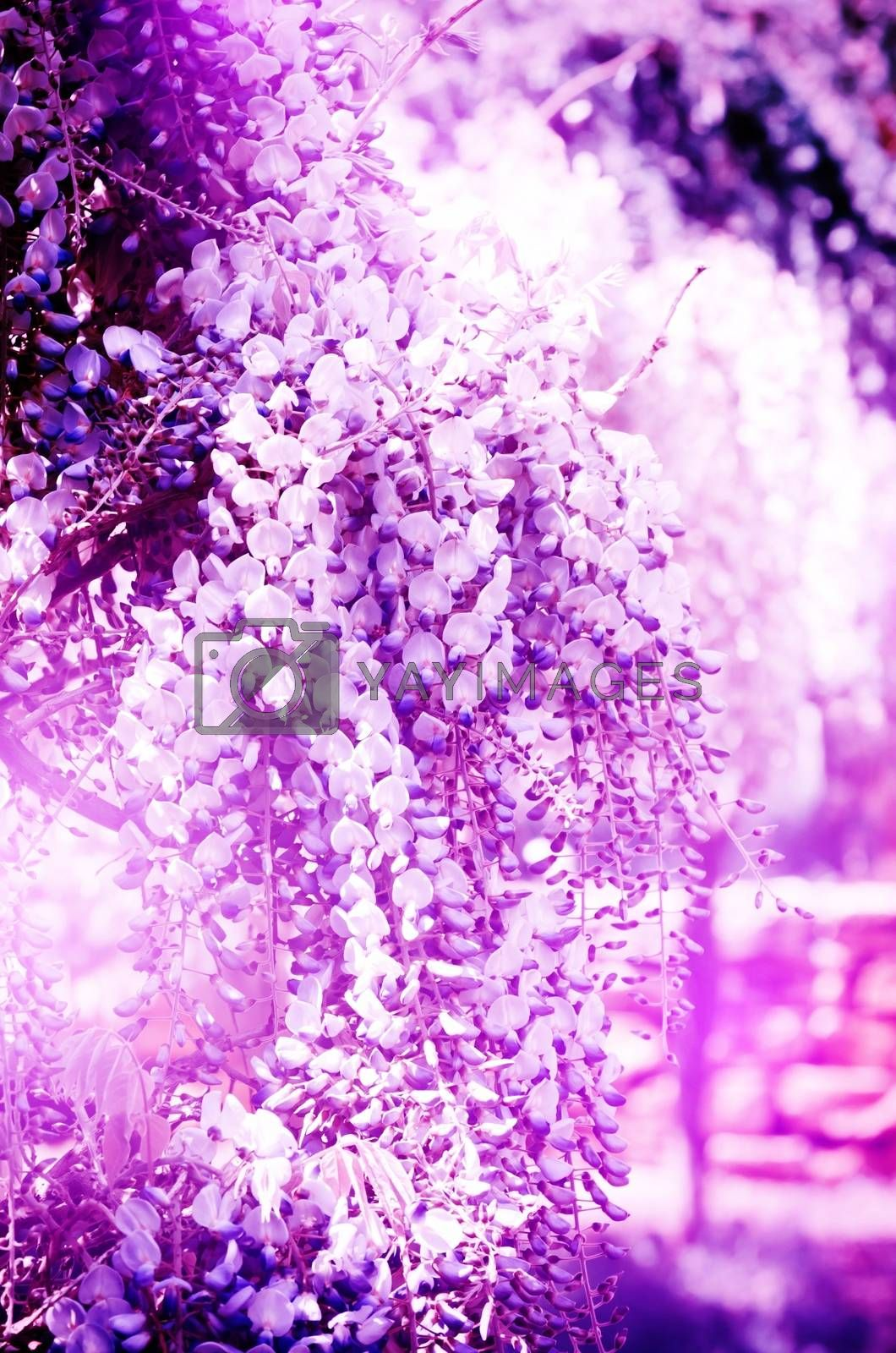 Bright Abstract Wistaria Flower Purple Blossom Background