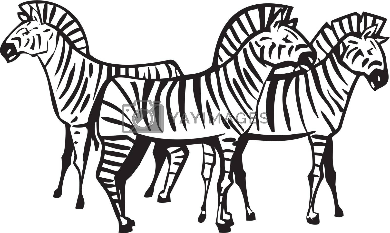 Three African Zebras grouped in a Herd
