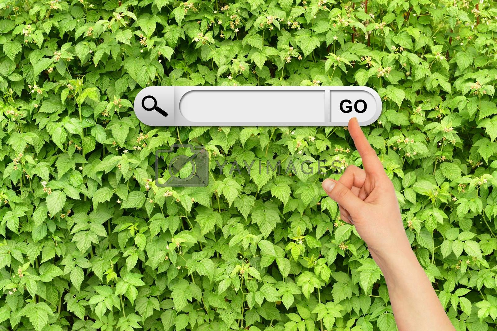 Human hand indicates the search bar in browser. Wall of green branches raspberry on background
