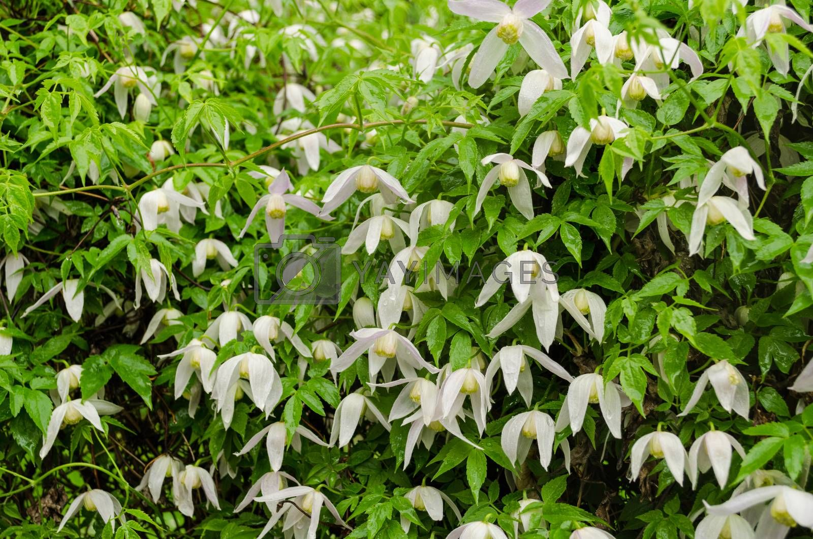 climber garden plant with small white flowers during heavy rain