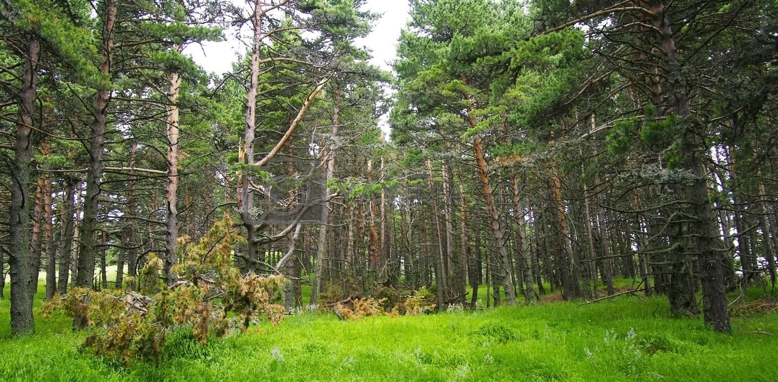 Summer forest (background)
