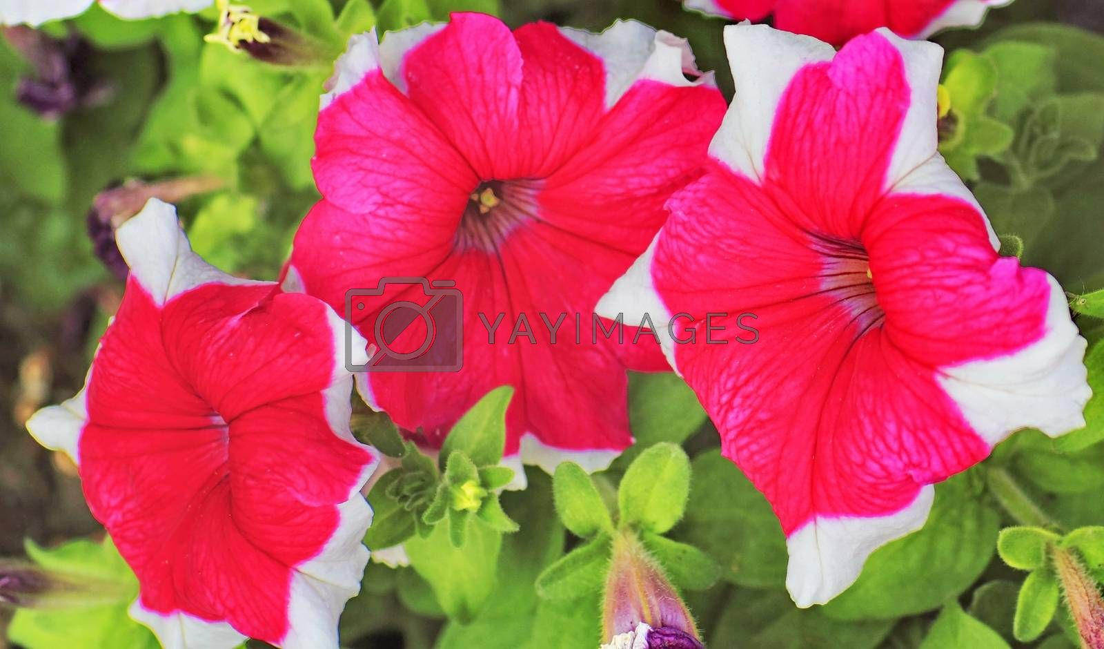 Royalty free image of flowers on a bed in the Park by victorych