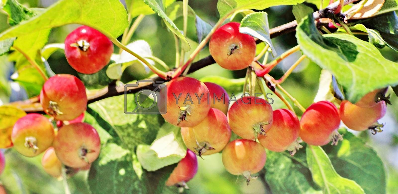 Royalty free image of ripe apples by victorych