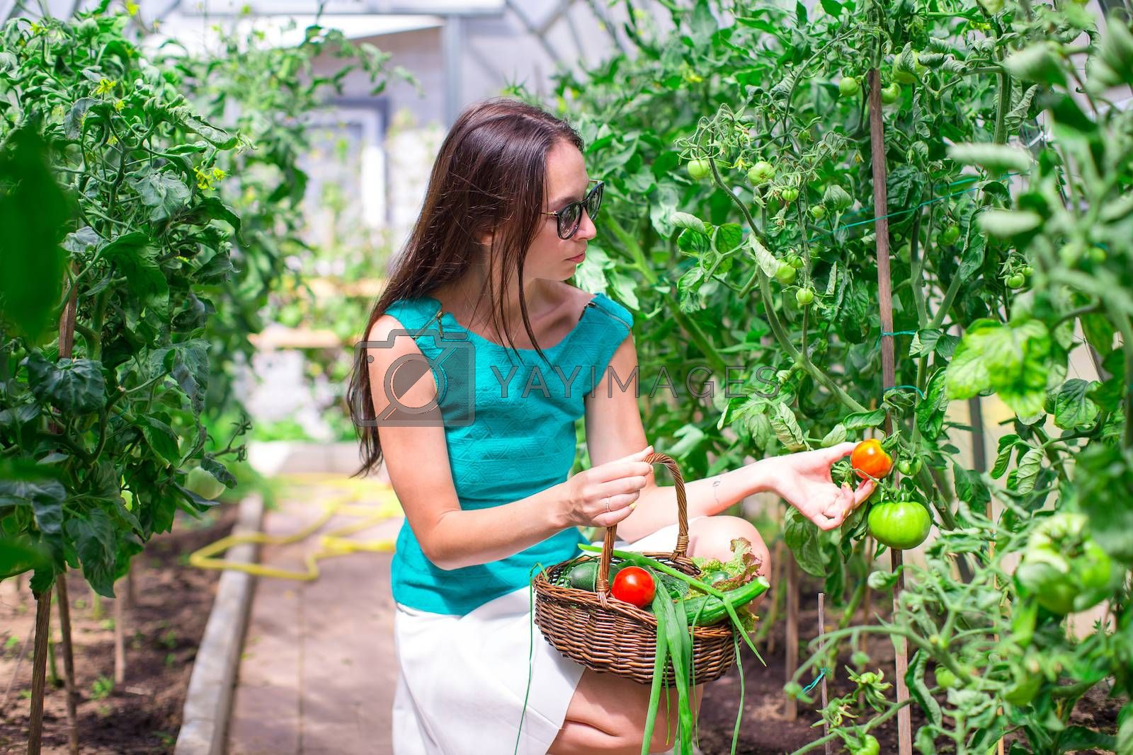 Young woman collects crop cucumbers and tomatos in  the greenhouse