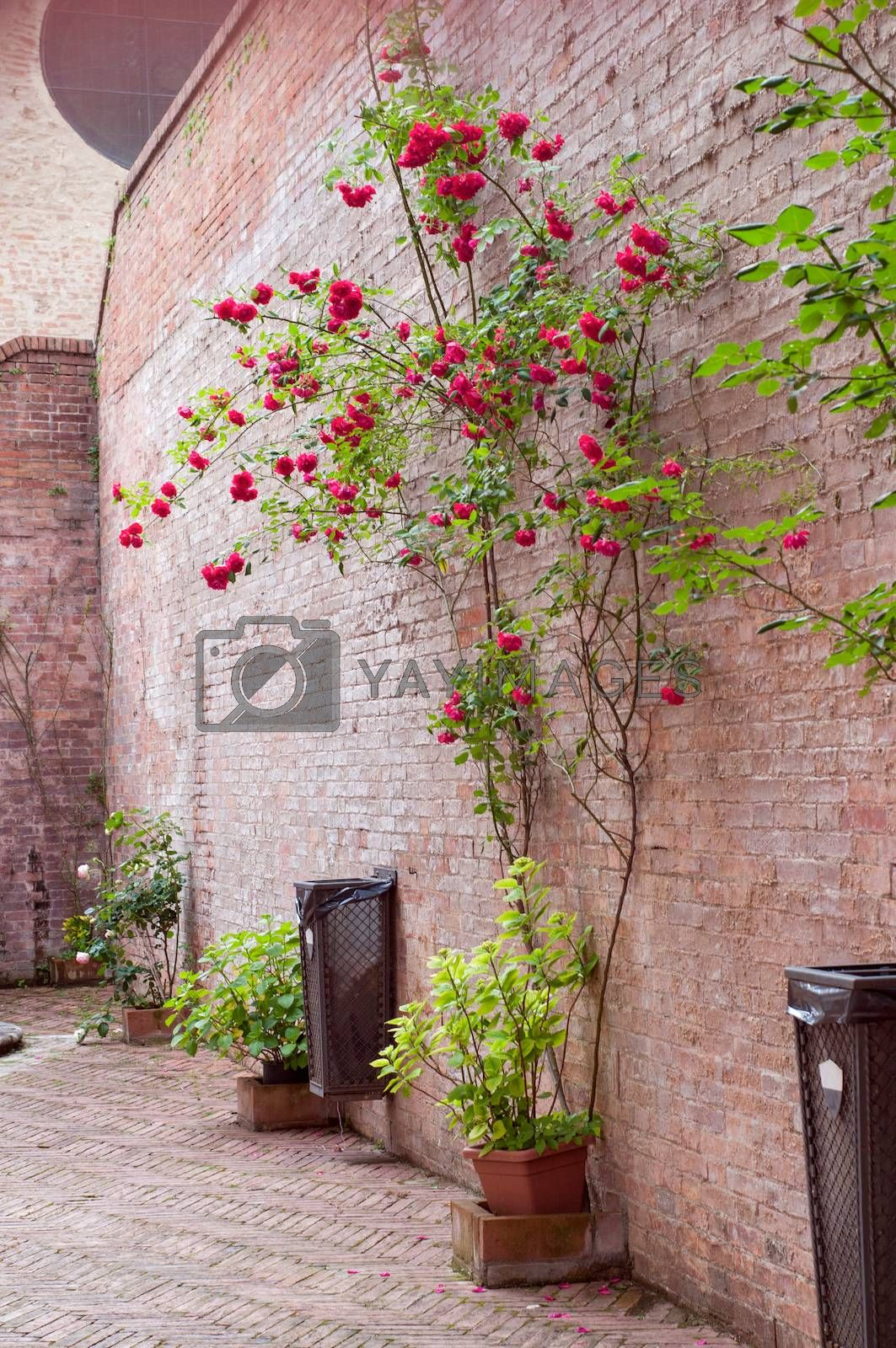 Rose bushes trained up a old stone wall