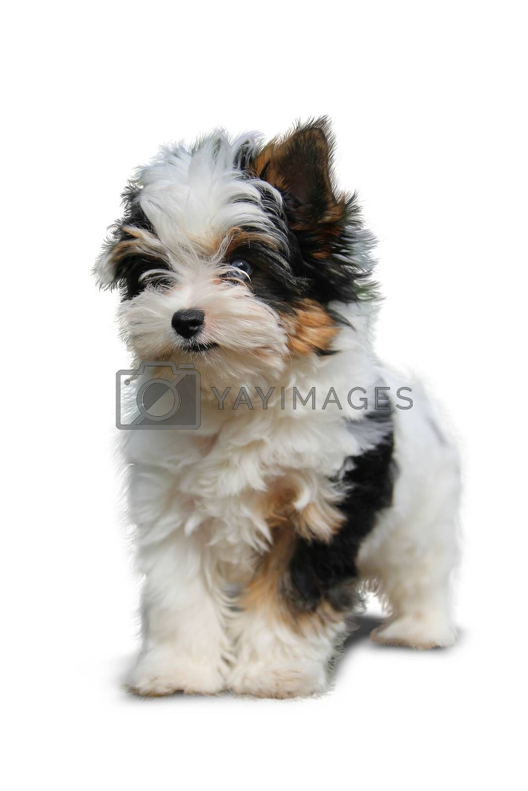 cheerful little tricolor puppy on a white background