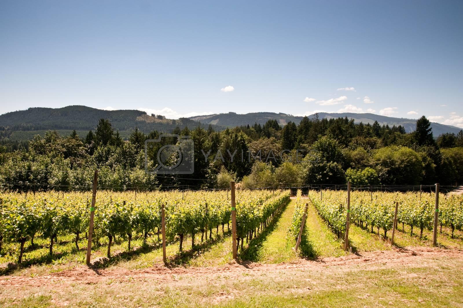 Vineyard on Vancouver Island, BC