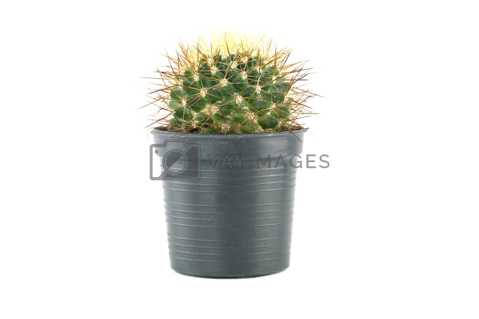 cactus in flower pot on white background.