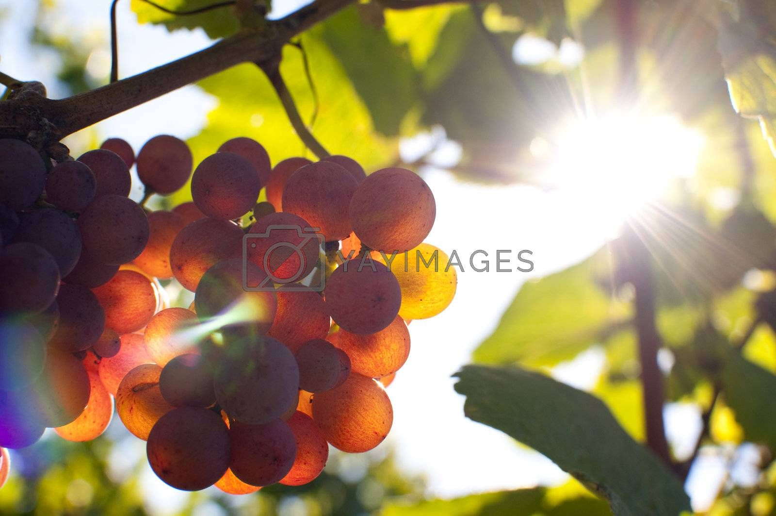 Close-up of a bunch of grapes on grapevine at susnset. Shallow DOF.