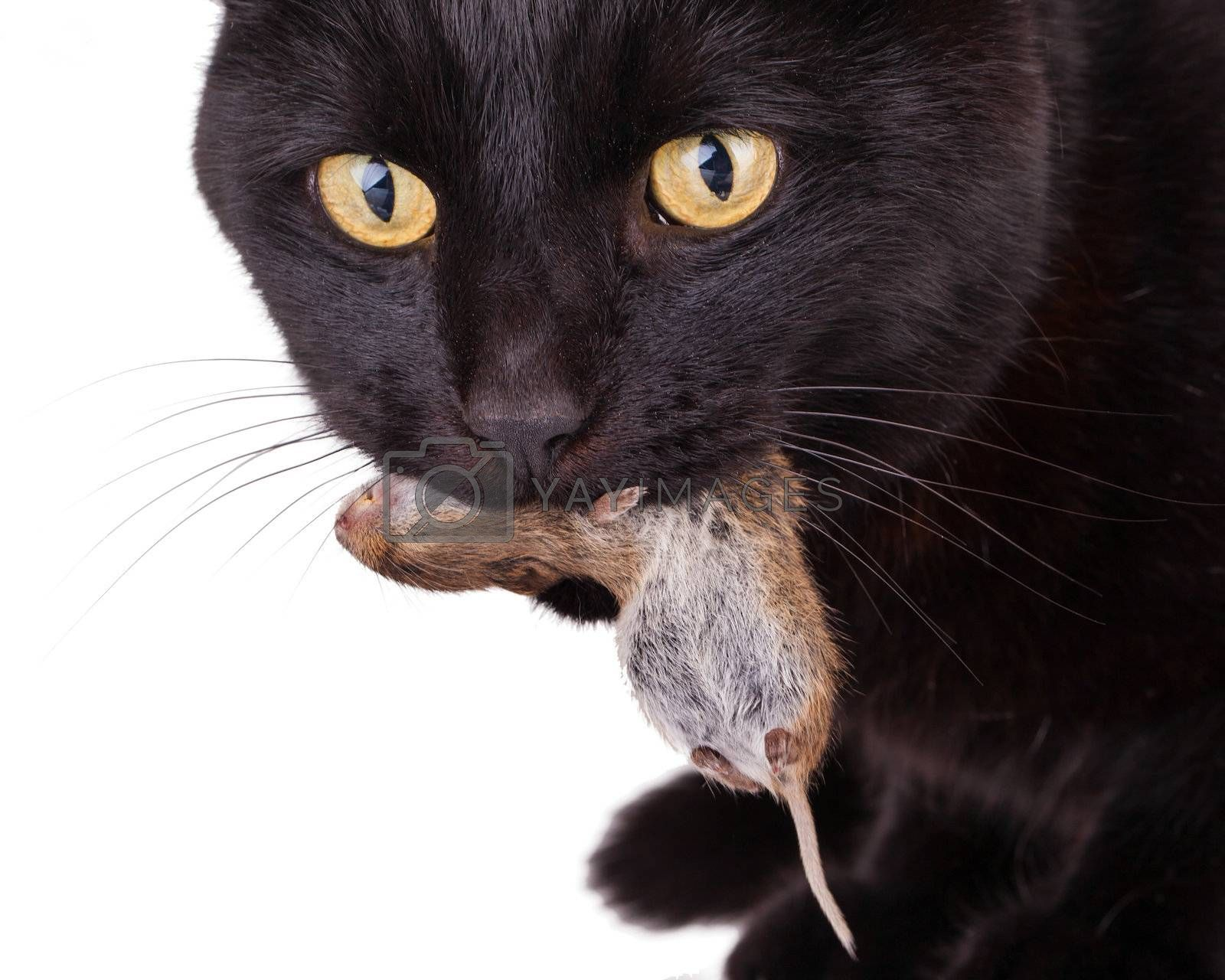 Royalty free image of Black cat with his prey, a dead mouse by michaklootwijk
