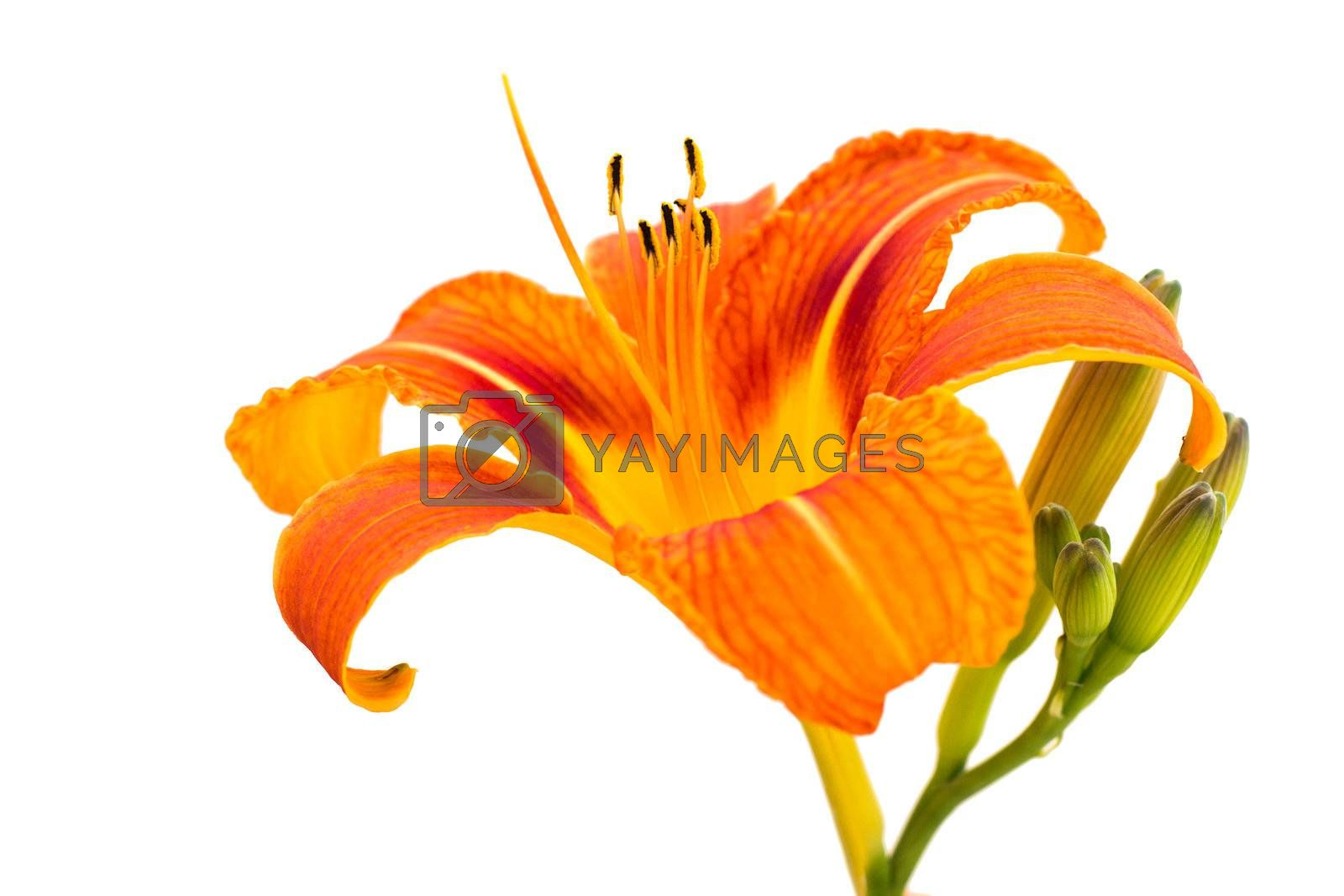 Royalty free image of Lily Flower by Kayco