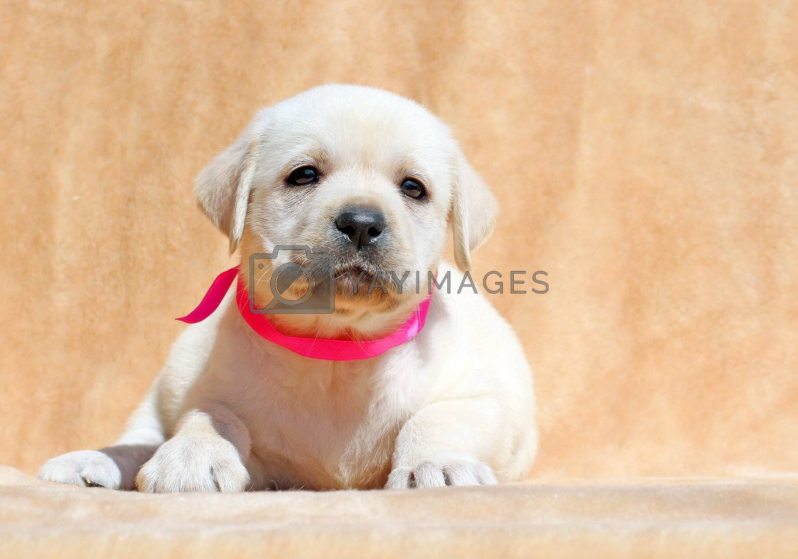 Royalty free image of yellow labrador puppy portrait close up by Yarvet