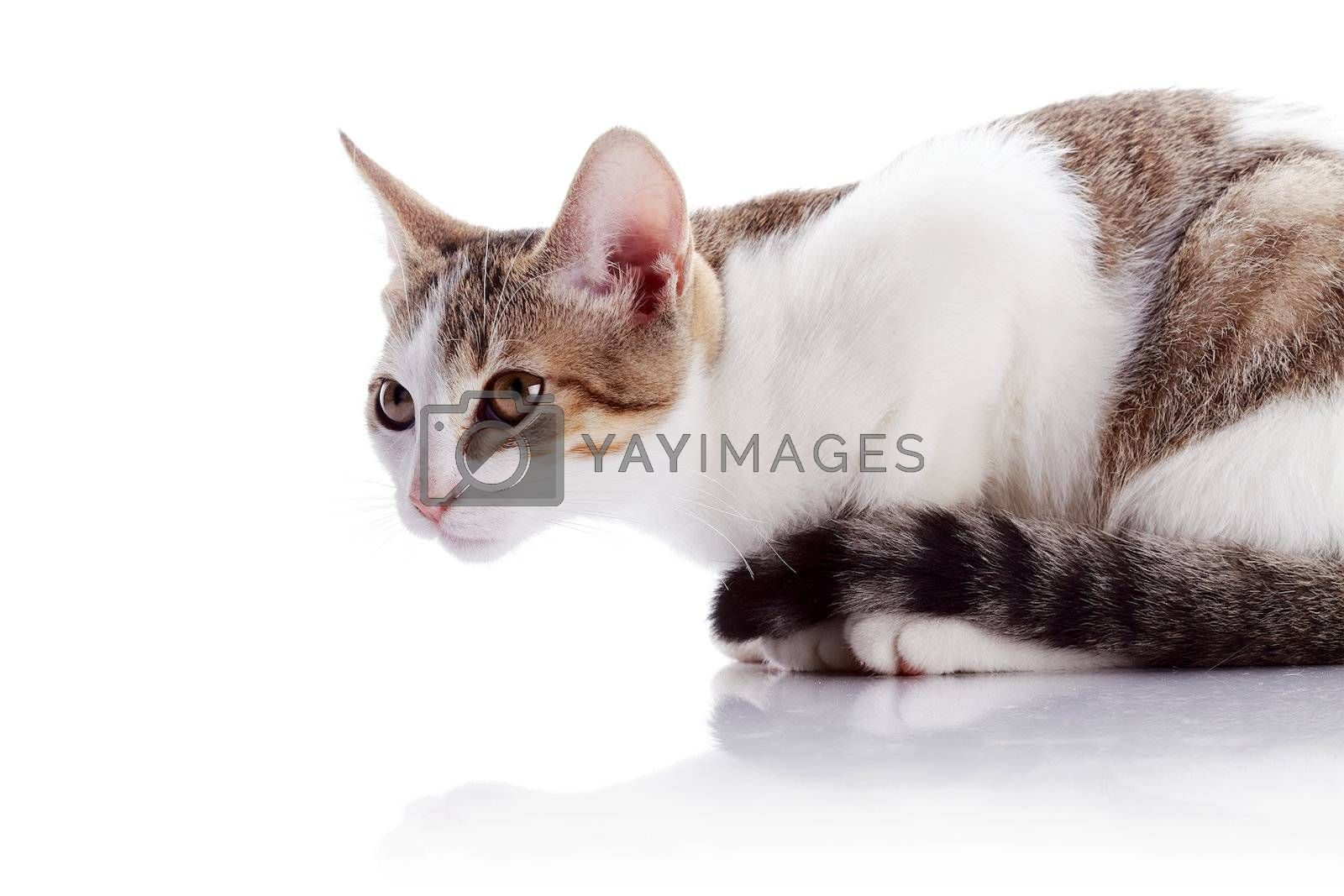 Royalty free image of The amusing kitten sits on a white background. by Azaliya