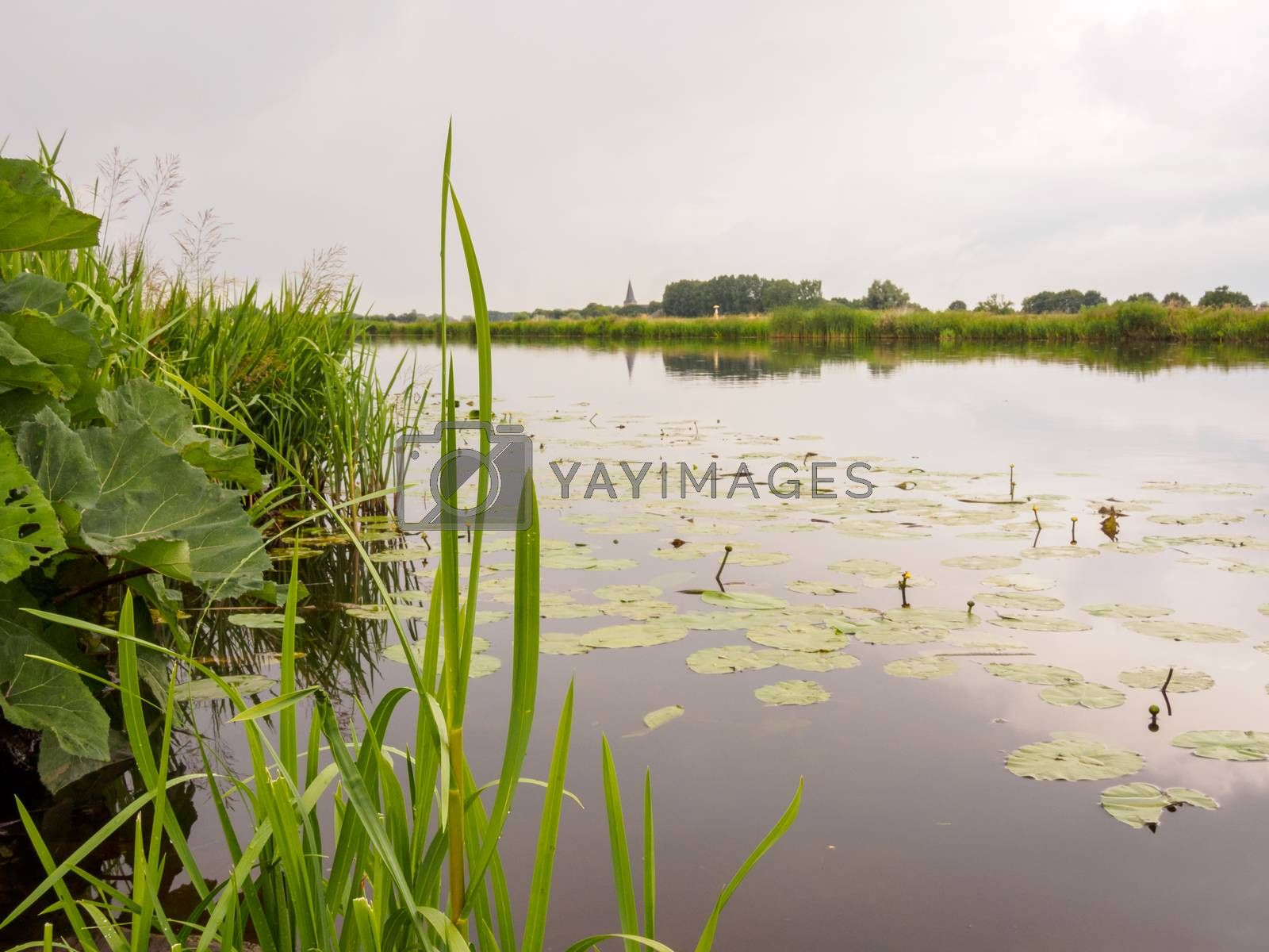 Royalty free image of Lilles in a still river in Holland by frankhoekzema