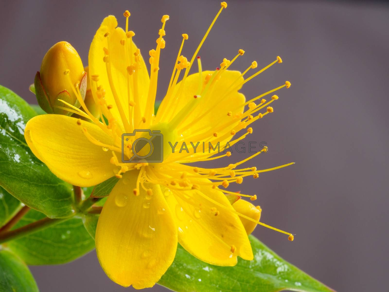 Royalty free image of Closeup of small yellow wort flower by frankhoekzema