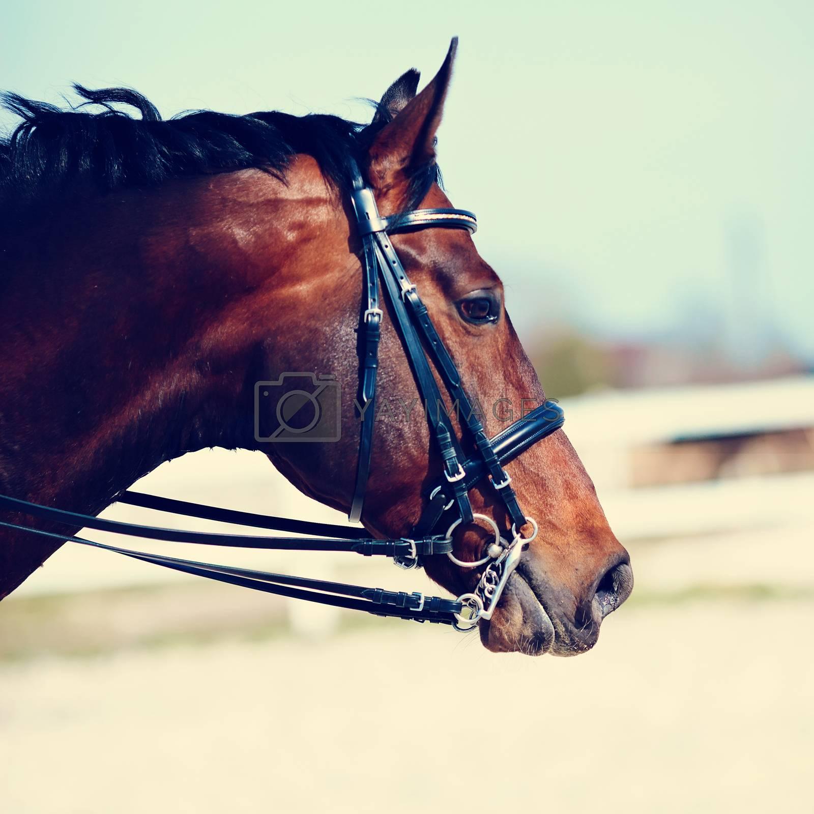 Royalty free image of Portrait of a sports horse. by Azaliya