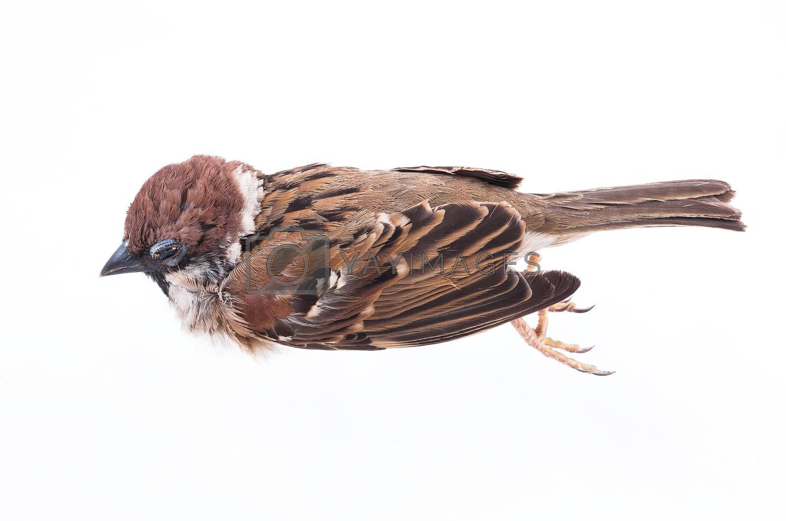Royalty free image of Death body of sparrow  by hadkhanong