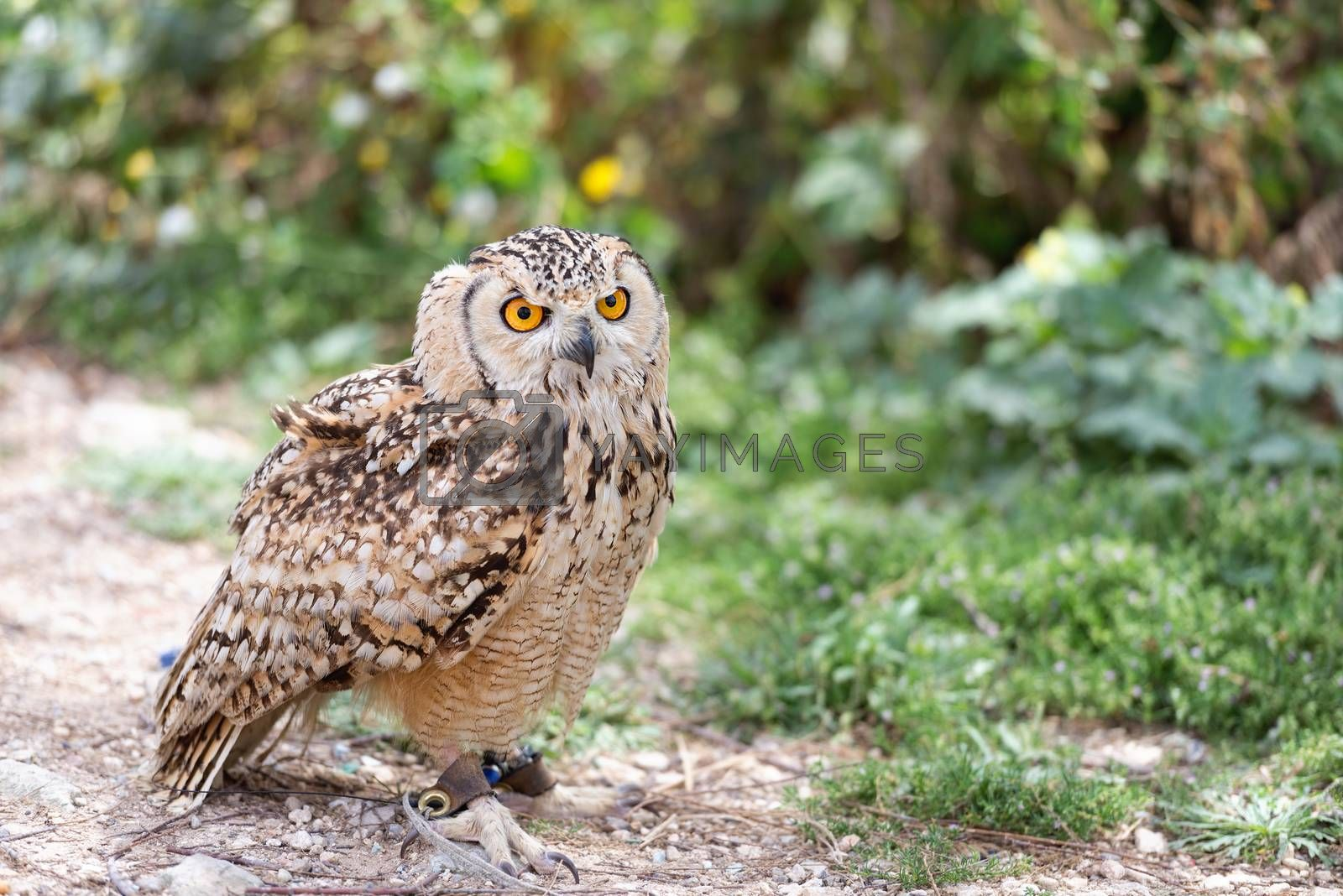 Royalty free image of Owl on leash with copy space by Nanisimova