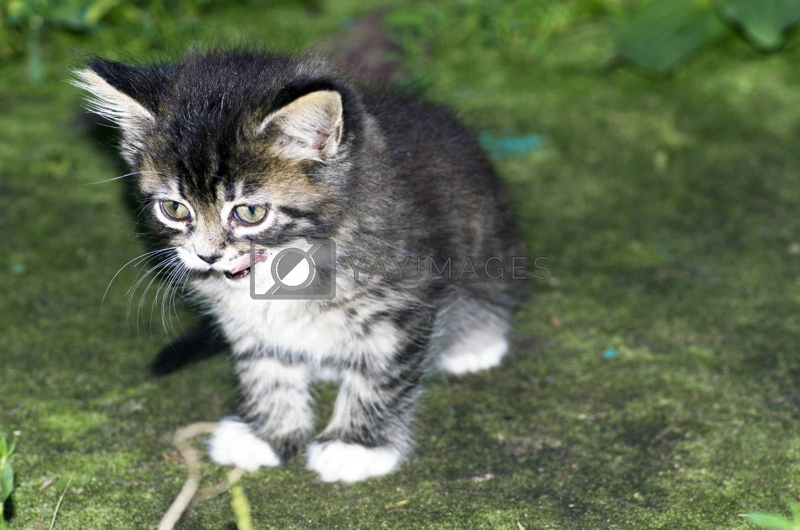 Royalty free image of top view of baby cat kitten lying  by dolnikow