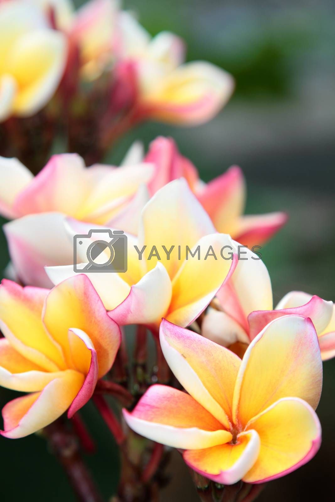 Frangipani close-up. Tropical flower with fragrant scent