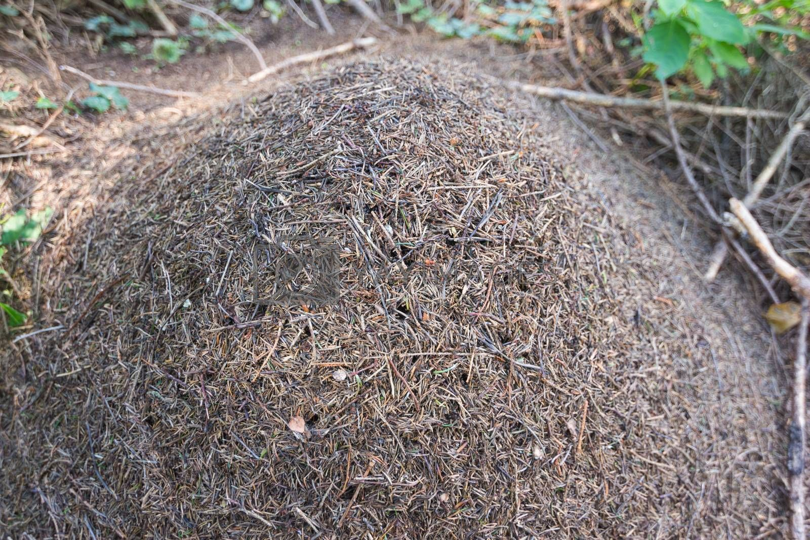 Large anthill in the woods