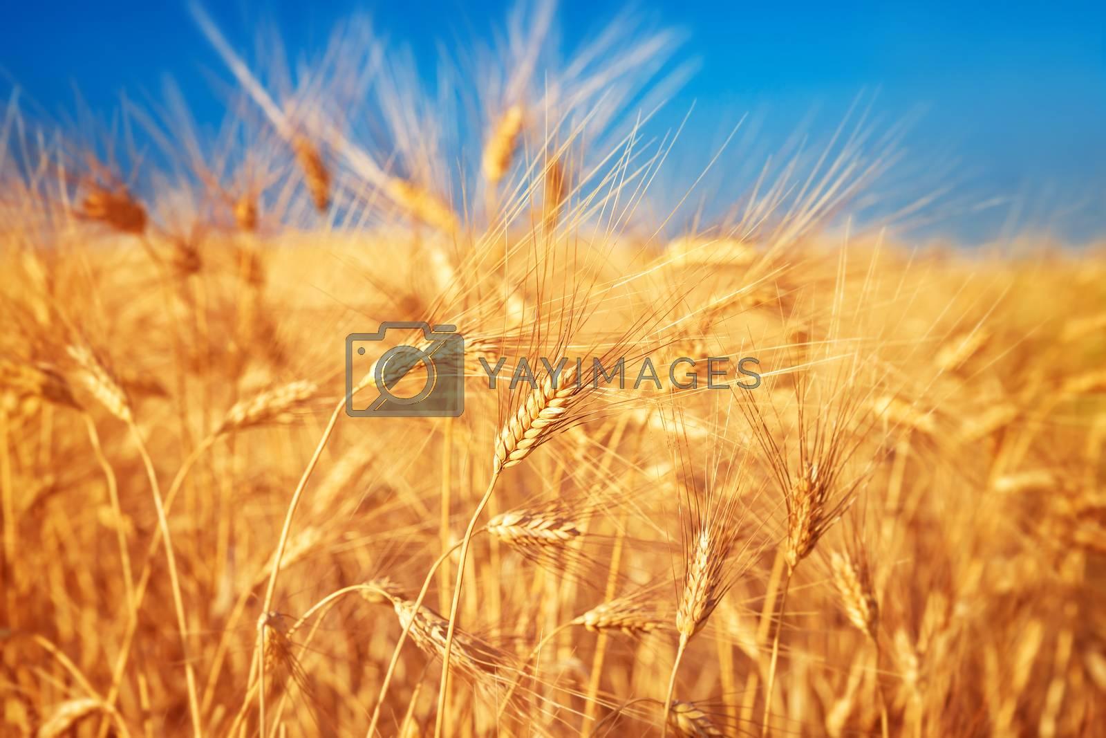 Wheat field landscape by Anna_Omelchenko